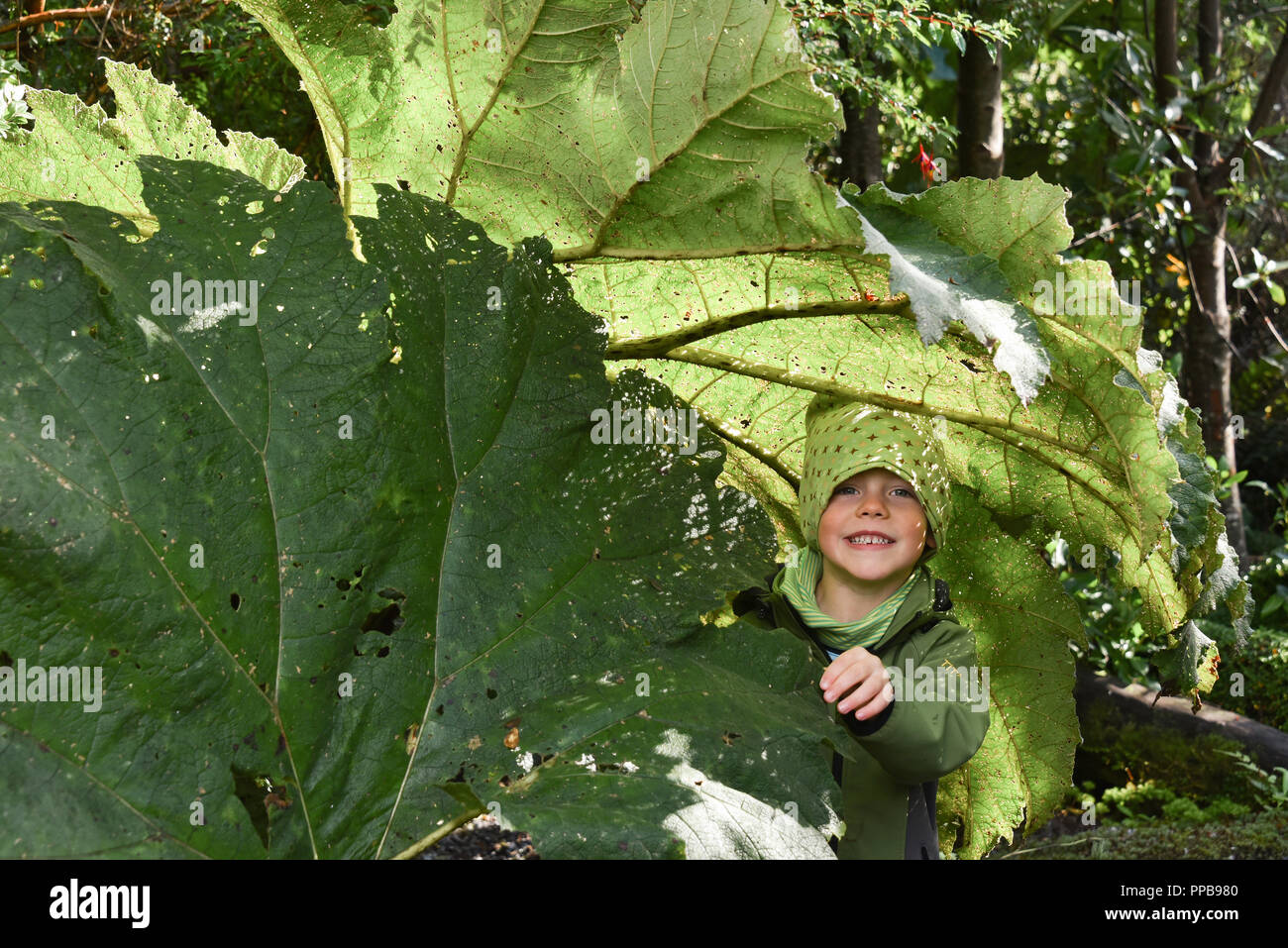 Little boy under Giant rhubarb (Gunnera manicata), El Bosque Encantado, temperate rainforest with moss and lichen - Stock Image