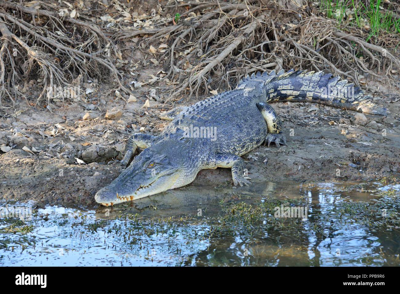 Large salt water crocodile resting on the banks of the Yellow Water Billabong,Kakadu, Northern Territory, Top End, Australia Stock Photo