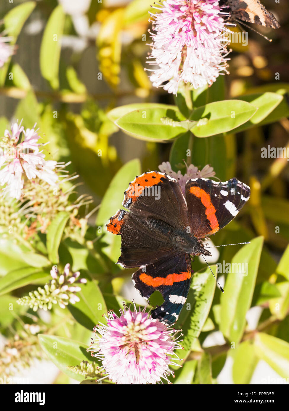 Red Admiral butterfly, Vanessa atlanta, with wings outstretched, UK - Stock Image