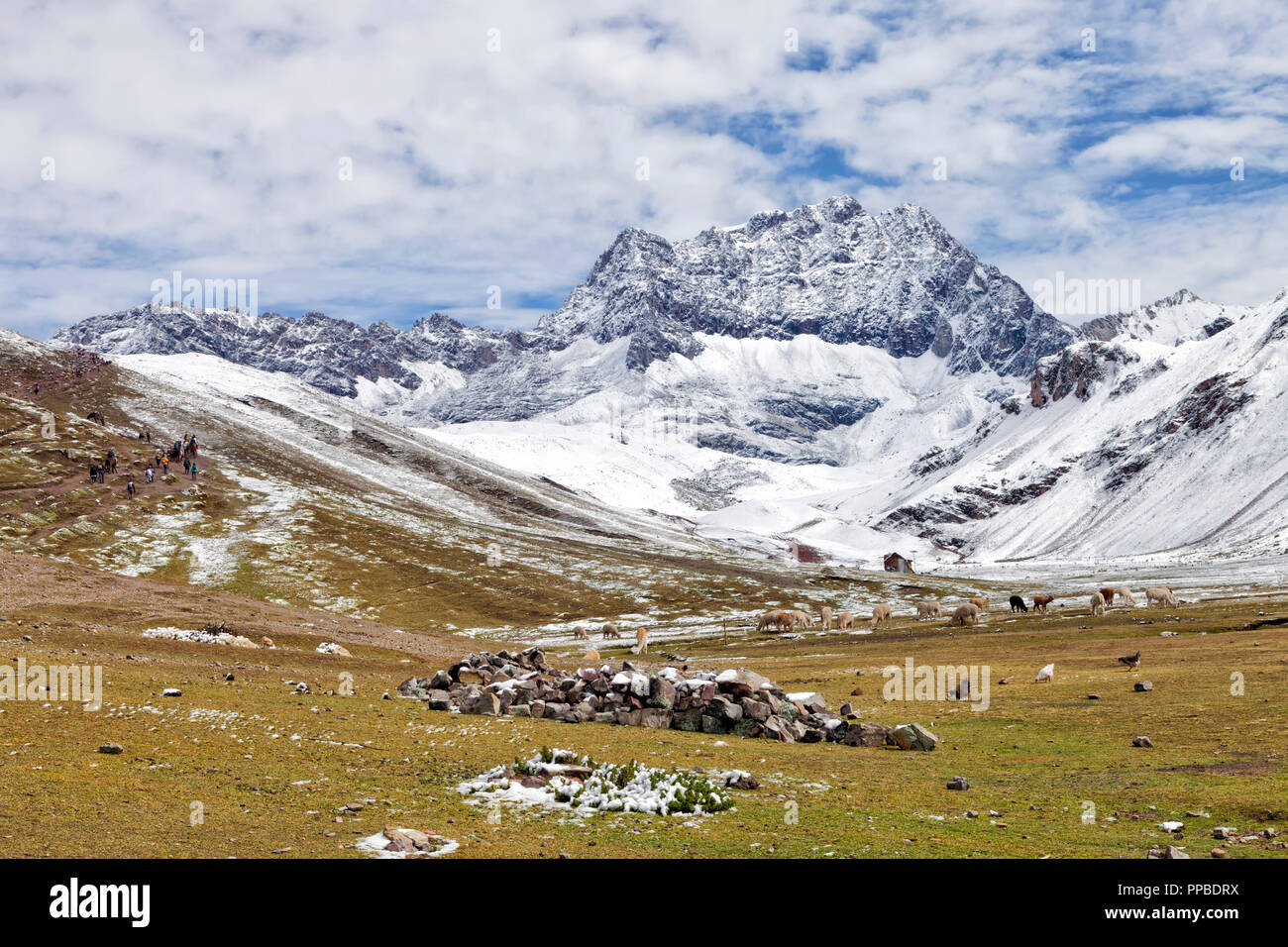 High altitude trek to Rainbow Mountains through pastures with grazing llamas and alpacas, snowy Andes, Peru . - Stock Image