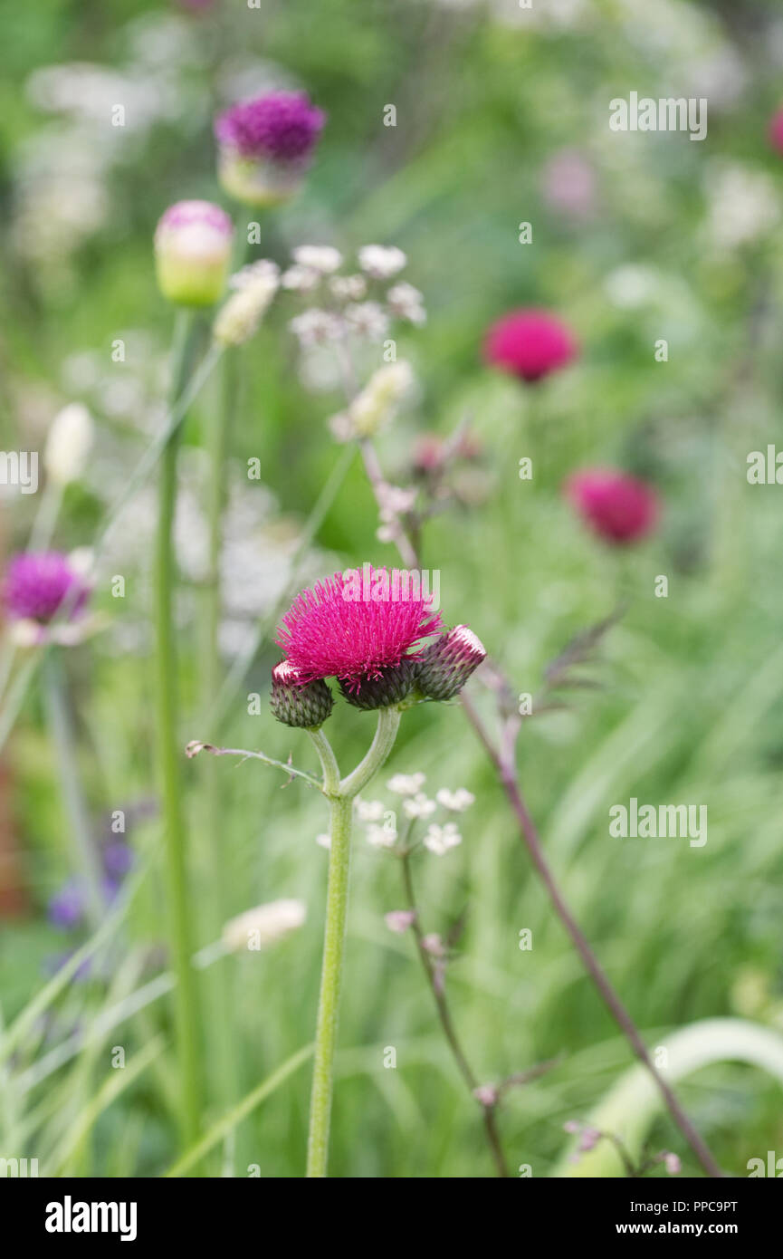 Cirsium rivulare 'Atropurpureum' flowers. - Stock Image