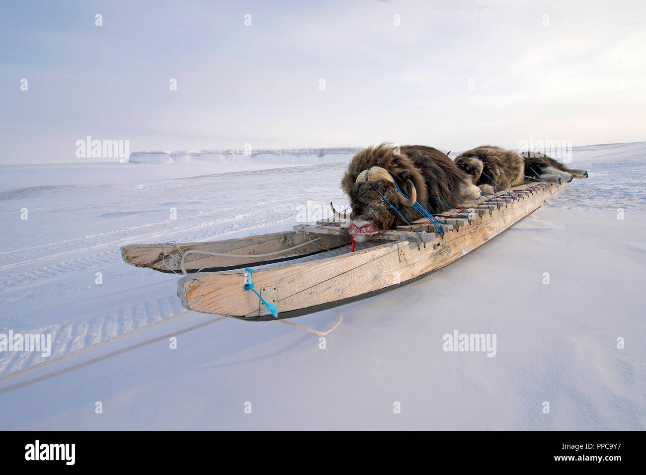 Killed Musk oxes (Ovibos moschatus) on wooden sled, Nunavut Territory, Canada - Stock Image