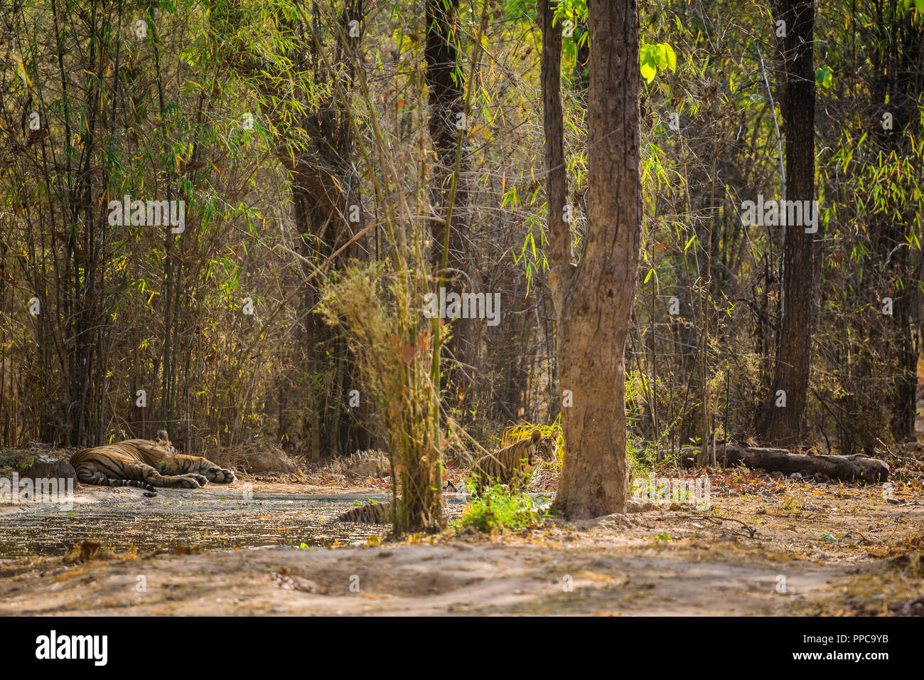 A male tiger with his curious three months old cub near waterhole in hot summer at Bandhavgarh National Park - Stock Image