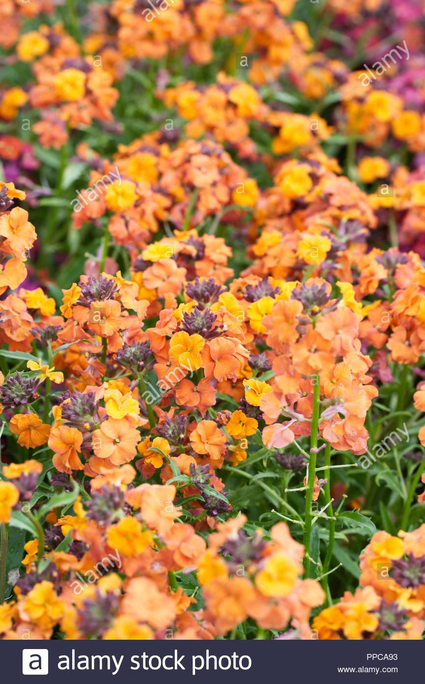Erysimum 'Apricot Twist' flowers. - Stock Image