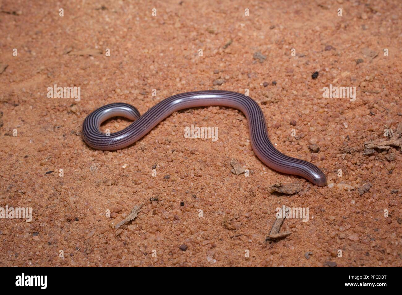 A worm-like Spotted Blind Snake ​(Afrotyphlops punctatus) on a dirt road at night in Bobiri Forest Reserve, Ghana, West Africa - Stock Image