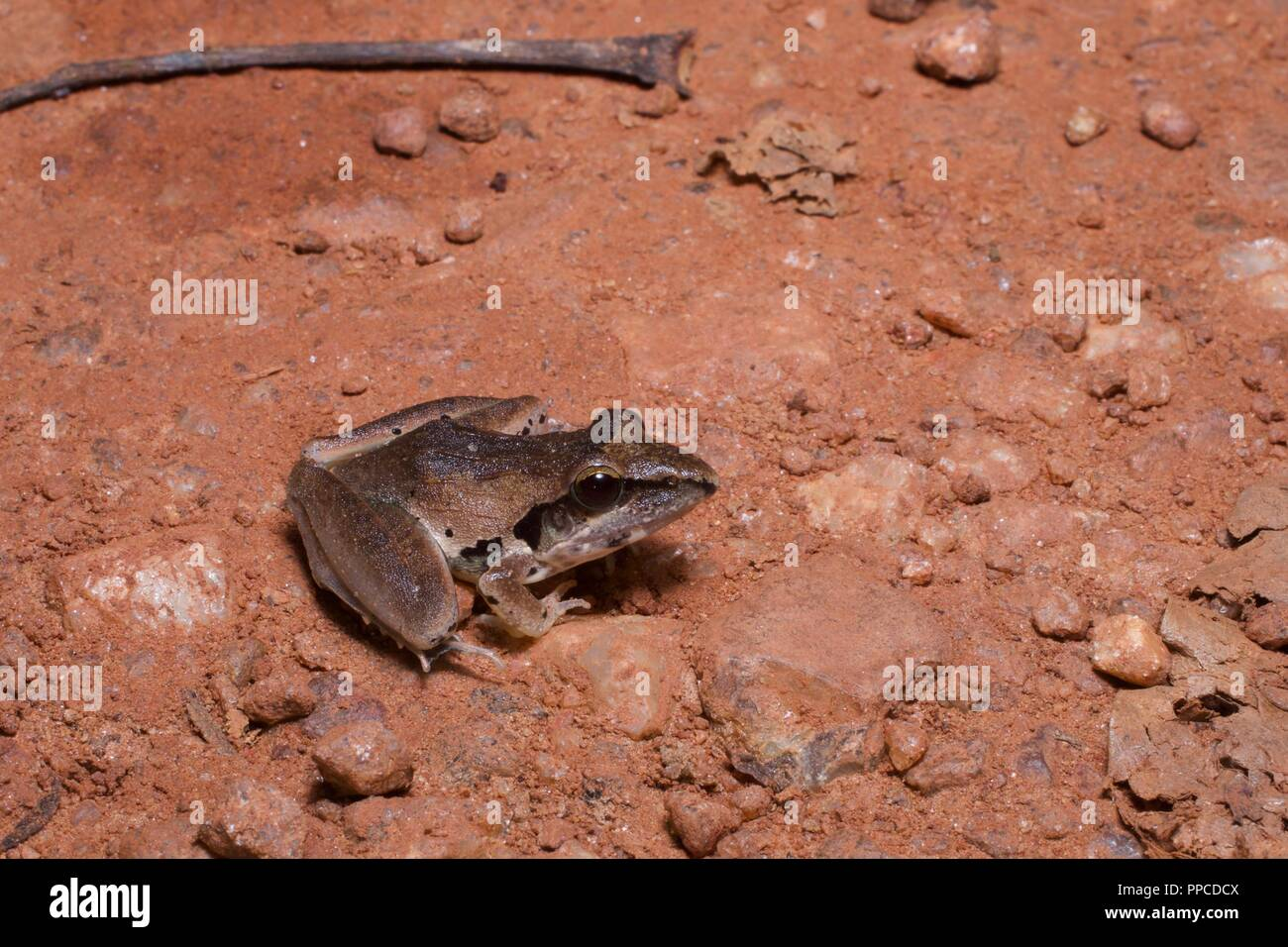 A Snouted Grassland Frog (Ptychadena longirostris) on a dirt path at night in Bobiri Forest Reserve, Ghana, Africa - Stock Image