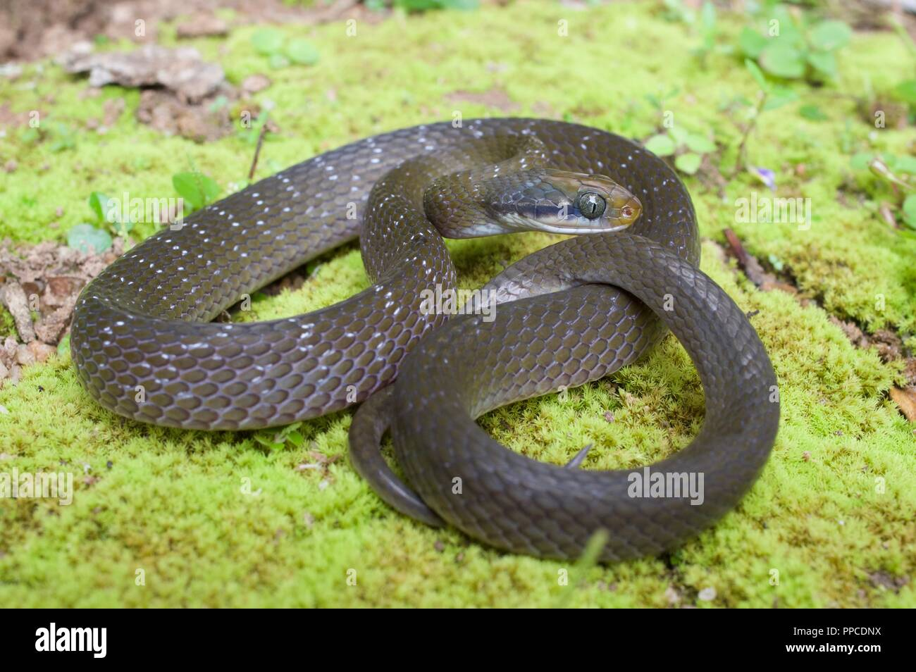A White-lipped Herald Snake ​(Crotaphopeltis hotamboeia) coiled on mossy ground in Bobiri Forest Reserve, Ghana, West Africa - Stock Image