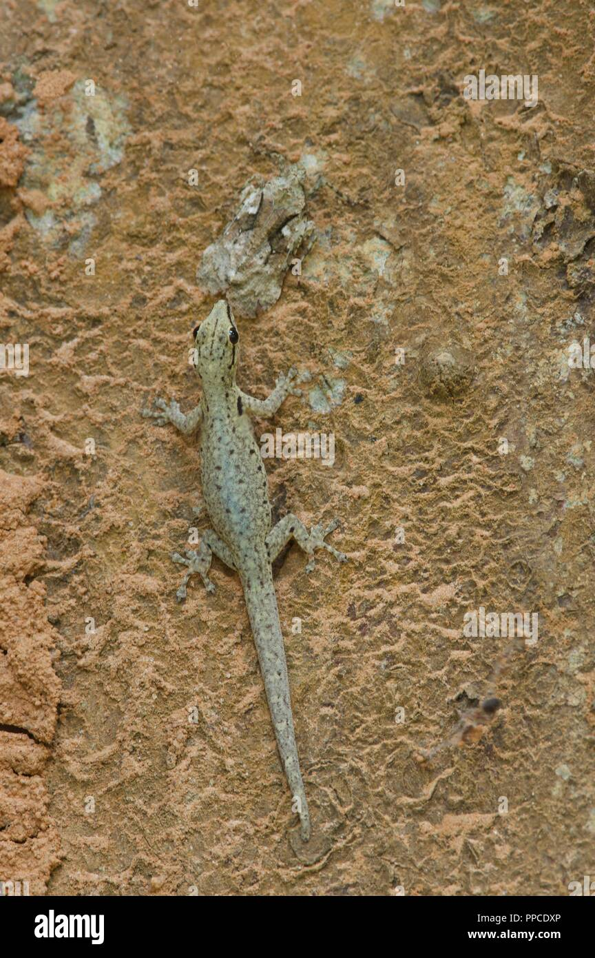 A Cameroon Dwarf Gecko ​(Lygodactylus conraui) climbing a tree in Bobiri Forest Reserve, Ghana, West Africa - Stock Image