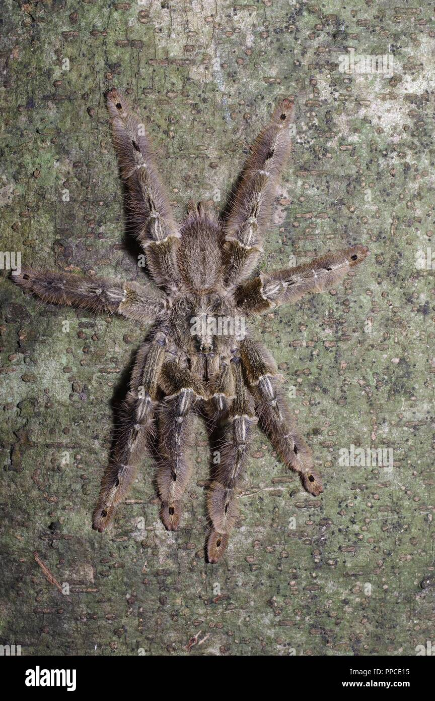 A Feather Leg Baboon Tarantula (Stromatopelma calceatum) on a tree trunk at night at Bobiri Forest Reserve, Ghana, West Africa - Stock Image