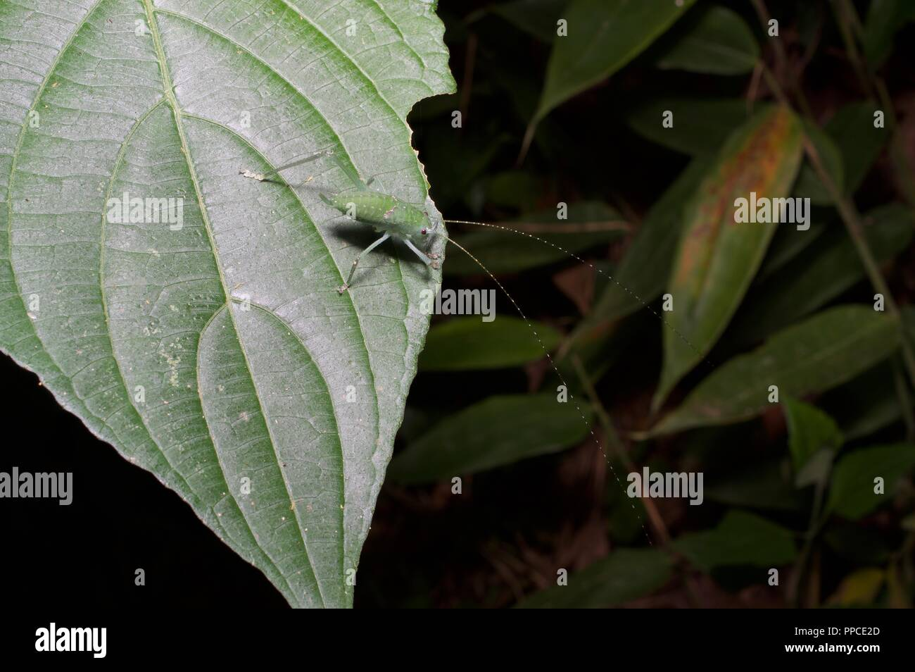 A tiny katydid nymph (family Tettigoniidae) on a leaf at night in Atewa Range Forest Reserve, Ghana, West Africa - Stock Image