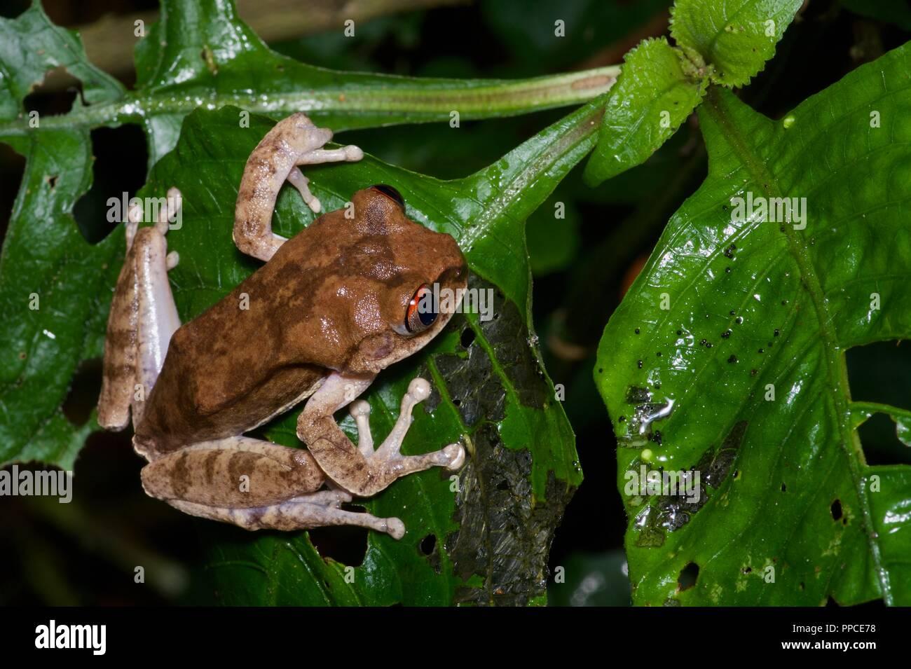 A Night Spirit Frog (Leptopelis spiritusnoctis) in wet leaves at night in Atewa Range Forest Reserve, Ghana, West Africa - Stock Image