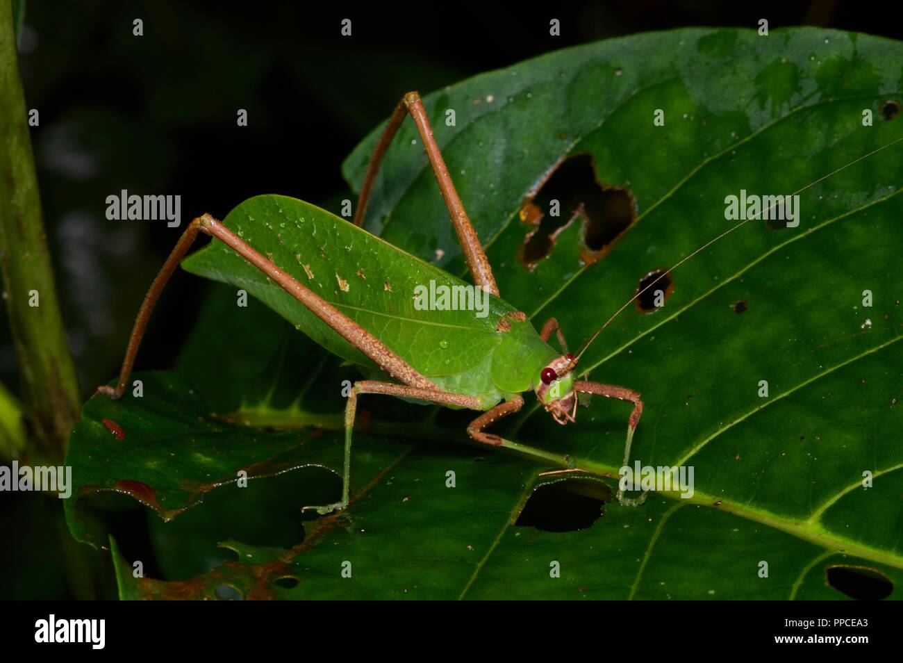A leaf mimic katydid (family Tettigoniidae) in the rainforest foliage at night in Atewa Range Forest Reserve, Ghana, West Africa - Stock Image