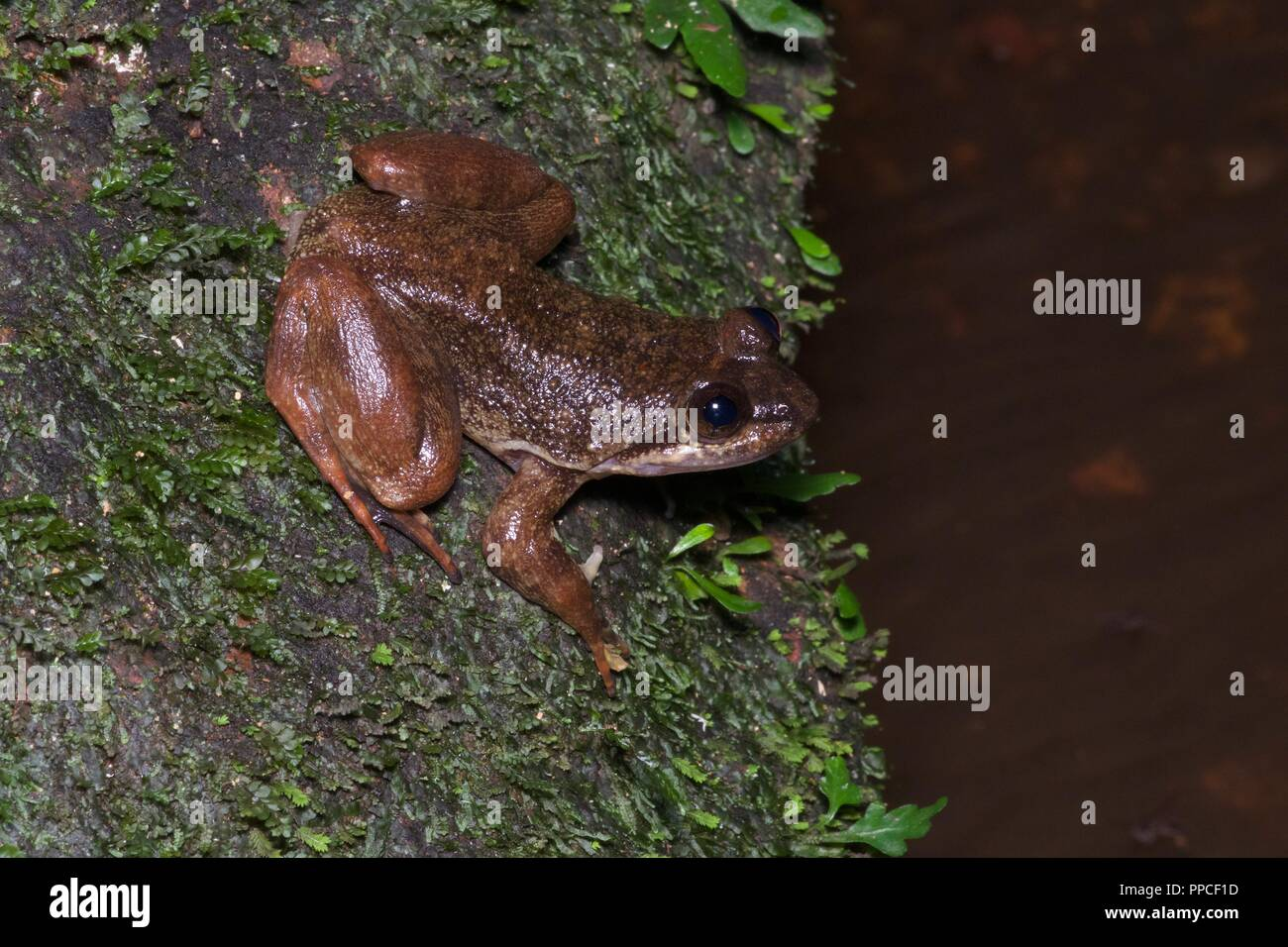 A critically endangered relative of the Togo Slippery Frog (Conraua cf. derooi) at streamside in Atewa Range Forest Reserve, Ghana, West Africa - Stock Image
