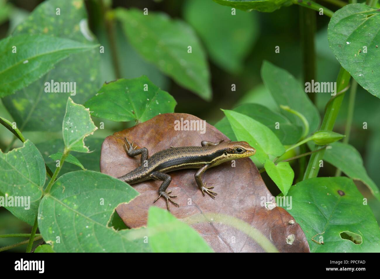 A small skink (Trachylepis sp) in vegetation at Bobiri Forest Reserve, Ghana, West Africa Stock Photo