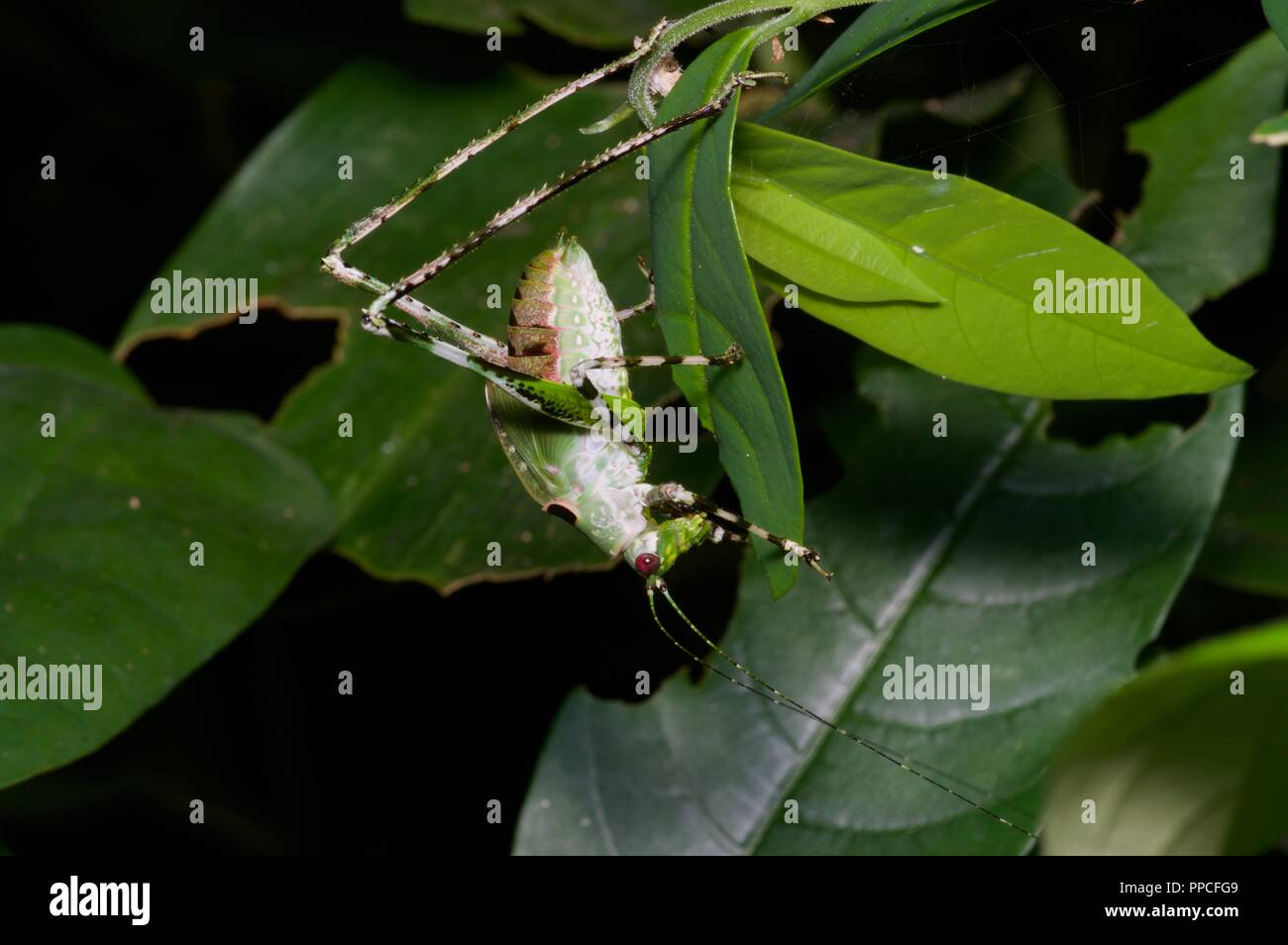 A katydid nymph (family Tettigoniidae) in the rainforest foliage at night in Atewa Range Forest Reserve, Ghana, West Africa - Stock Image