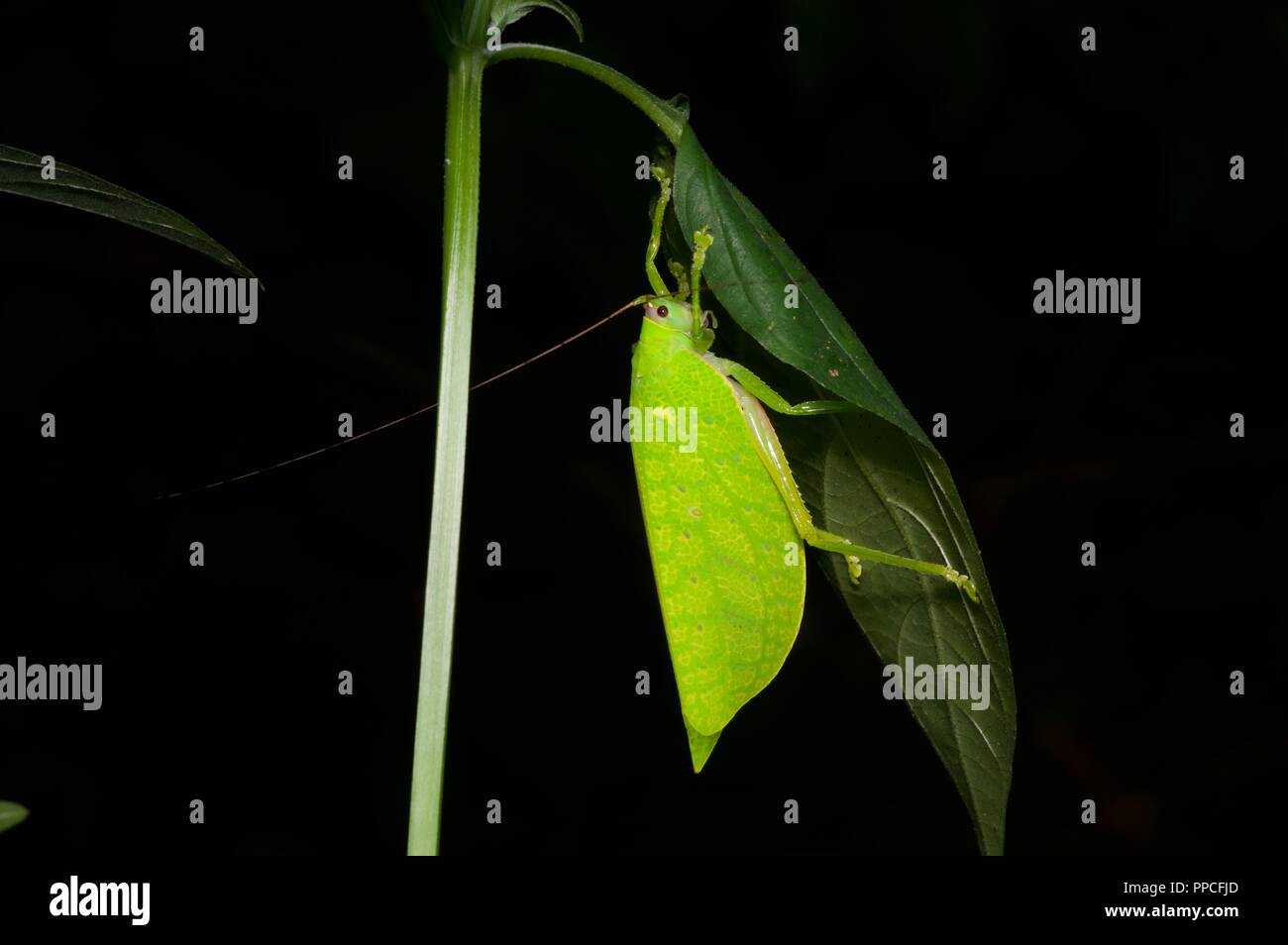 A leaf mimic katydid (family Tettigoniidae) in the rainforest foliage at night in Bobiri Forest Reserve, Ghana, West Africa - Stock Image