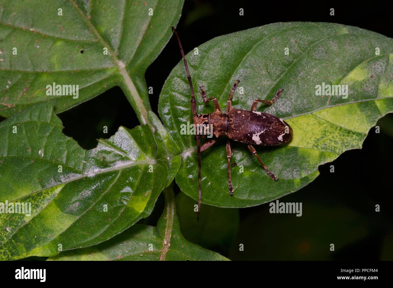 A long-horned beetle (Pseudhammus occipitalis) on a leaf at night in Bobiri Forest Reserve, Ghana, West Africa - Stock Image