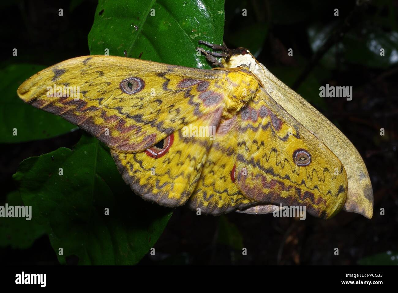 A mating pair of large, colorful silk moths (Aurivillius triramis) in the rainforest foliage at night in Atewa Range Forest Reserve, Ghana - Stock Image