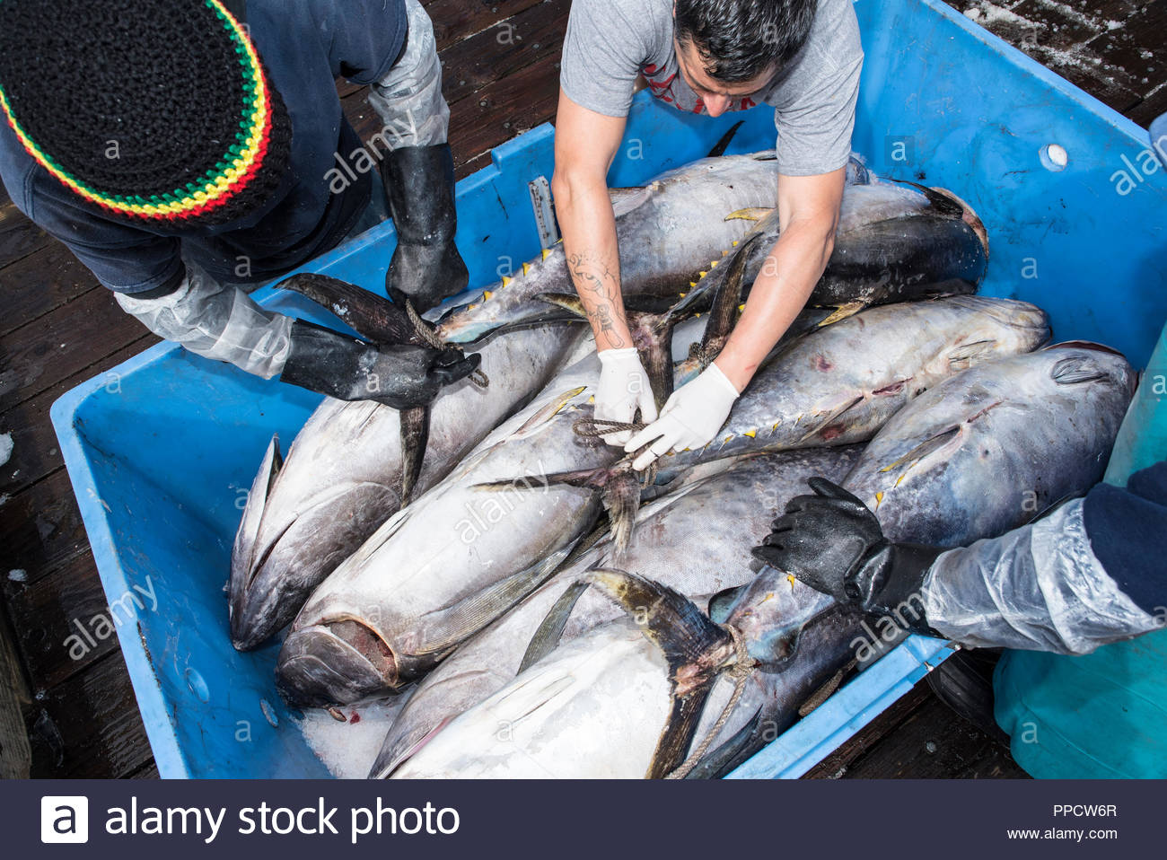 Deckhands organizing tuna in an ice bin on a dock in San Diego, California, USA - Stock Image