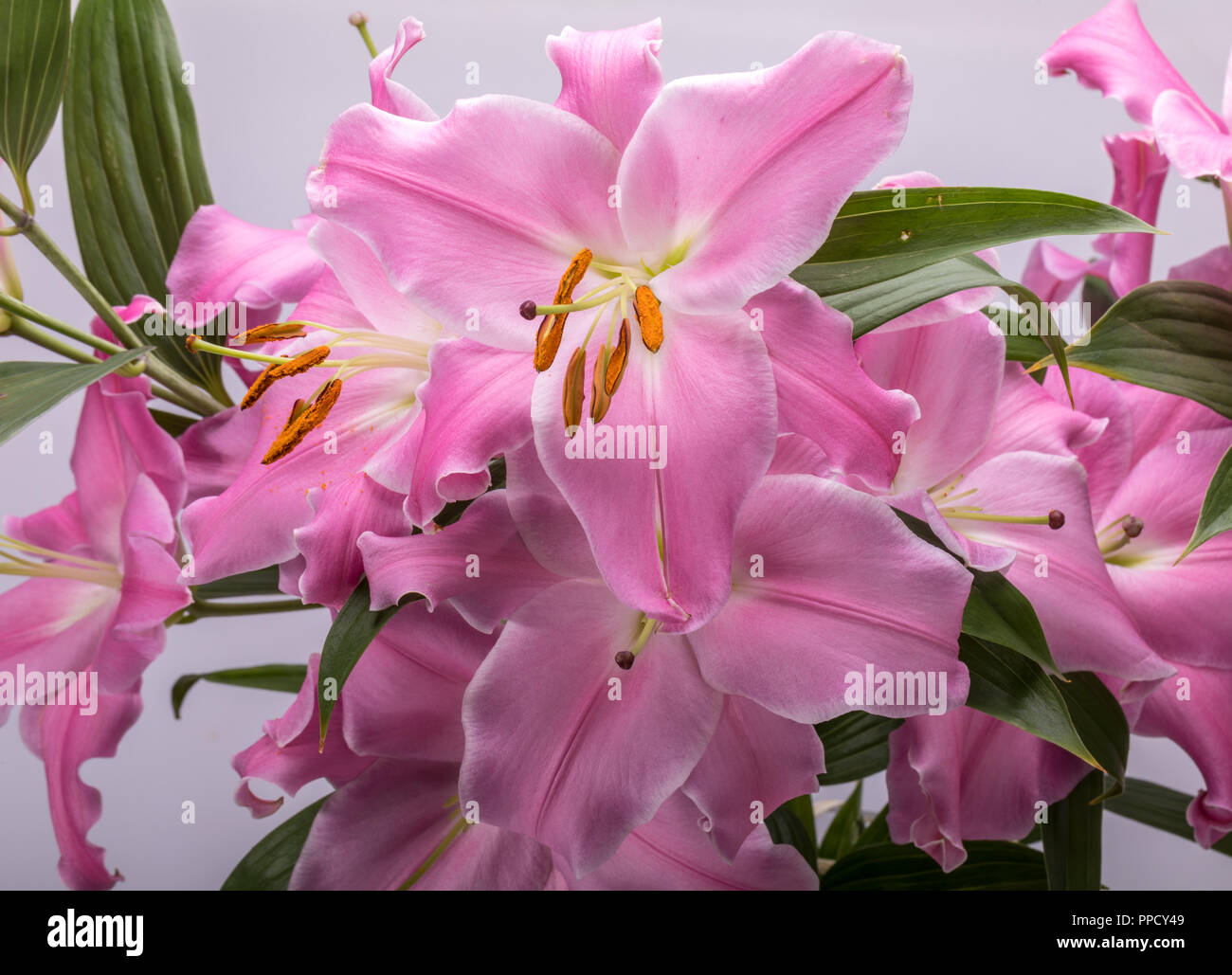 Magic lily stock photos magic lily stock images alamy close up of pink liles flowers common names for species in this genus include izmirmasajfo