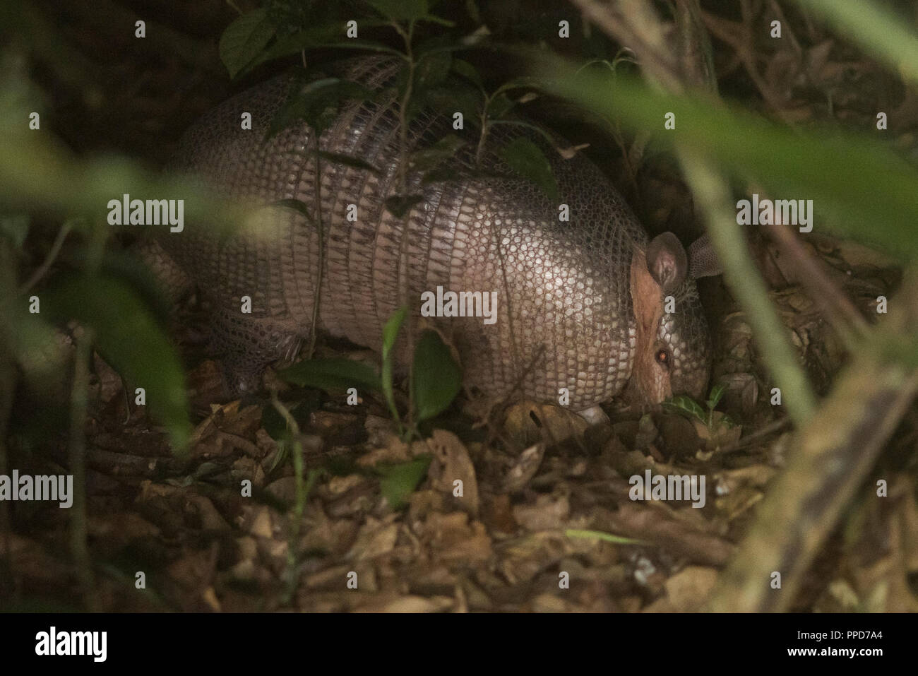A  giant armadillo (Priodontes maximus) digging in the leaf litter at night in the Peruvian rainforest. - Stock Image