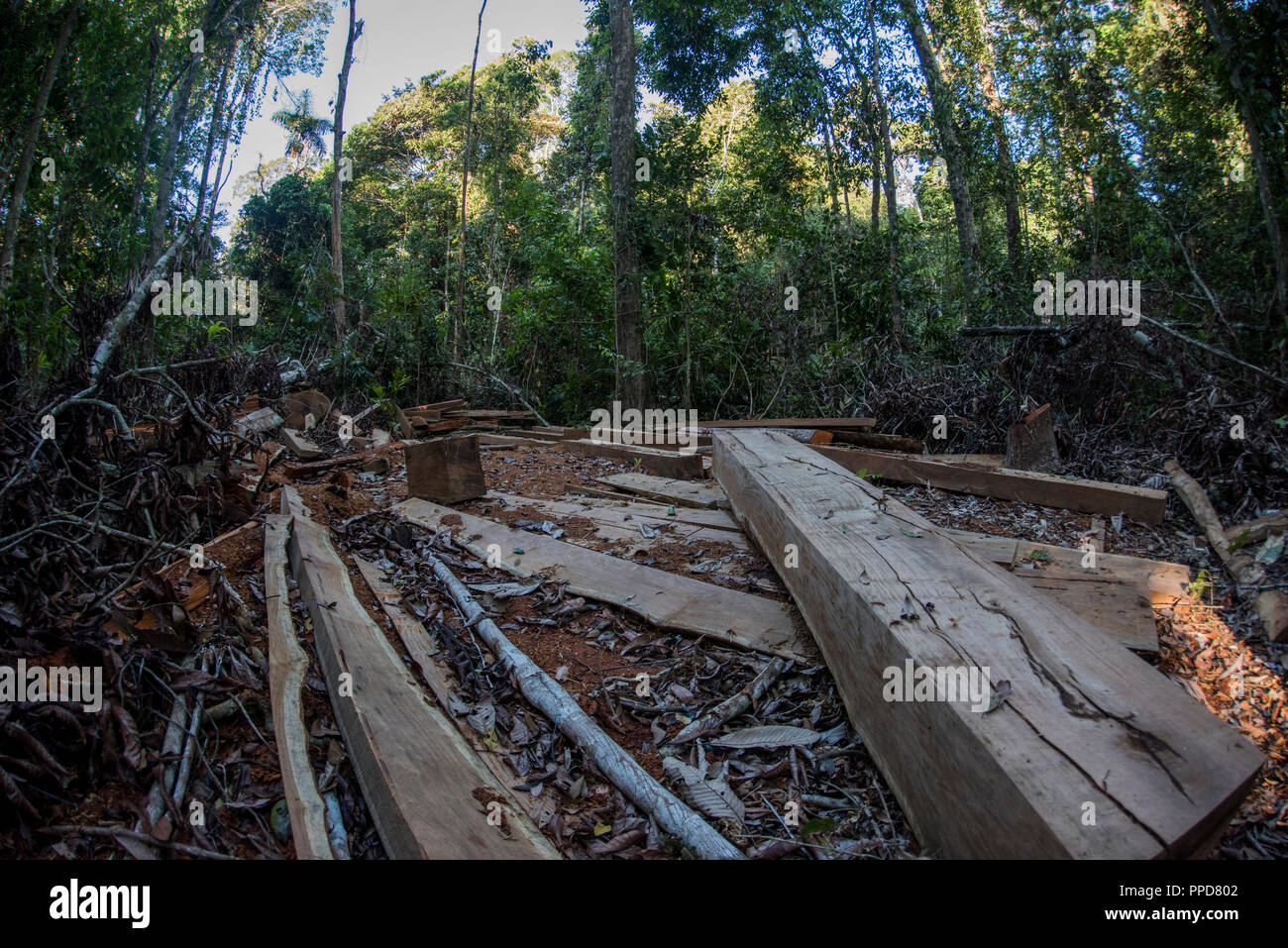 A logging site in Madre de Dios, Peru. Illegal logging is a huge threat to the Amazon rainforest.  Here a mature hardwood tree has been felled. - Stock Image