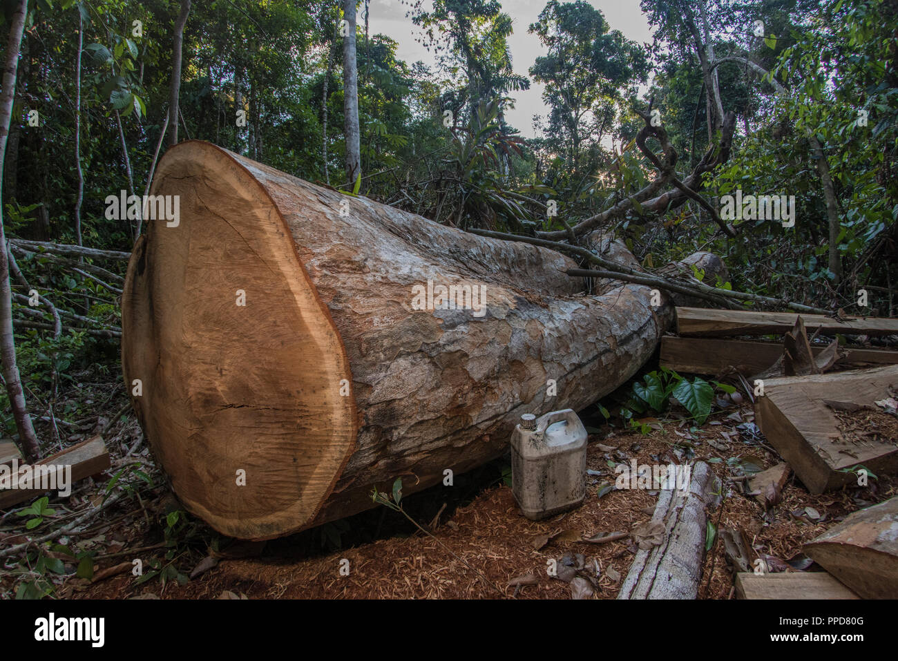 A logging site in Madre de Dios, Peru. Illegal logging is a huge threat to the Amazon rainforest.  Here a mature hardwood tree has been felled. Stock Photo