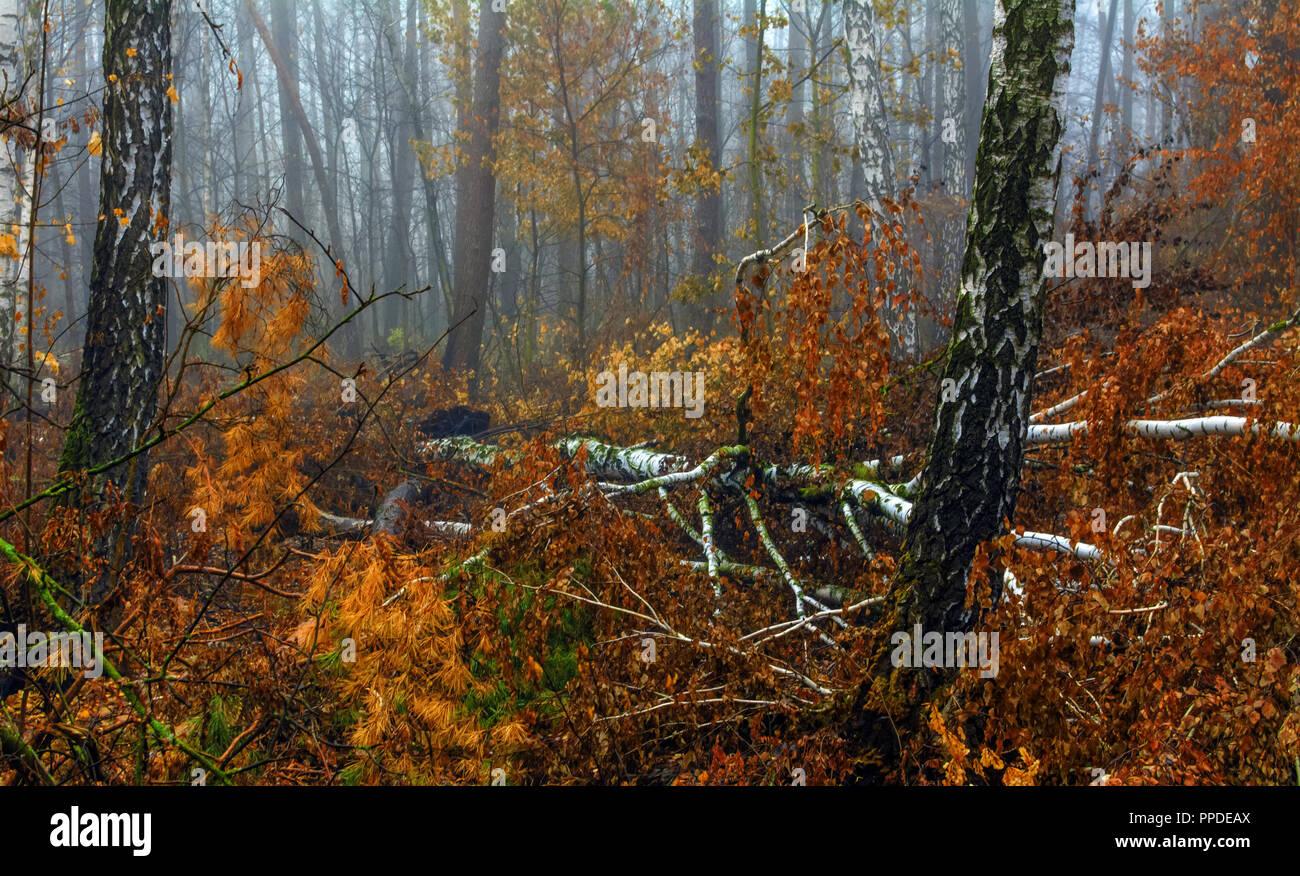 walk in the forest. autumn fogs, autumn colors, autumn mood. - Stock Image