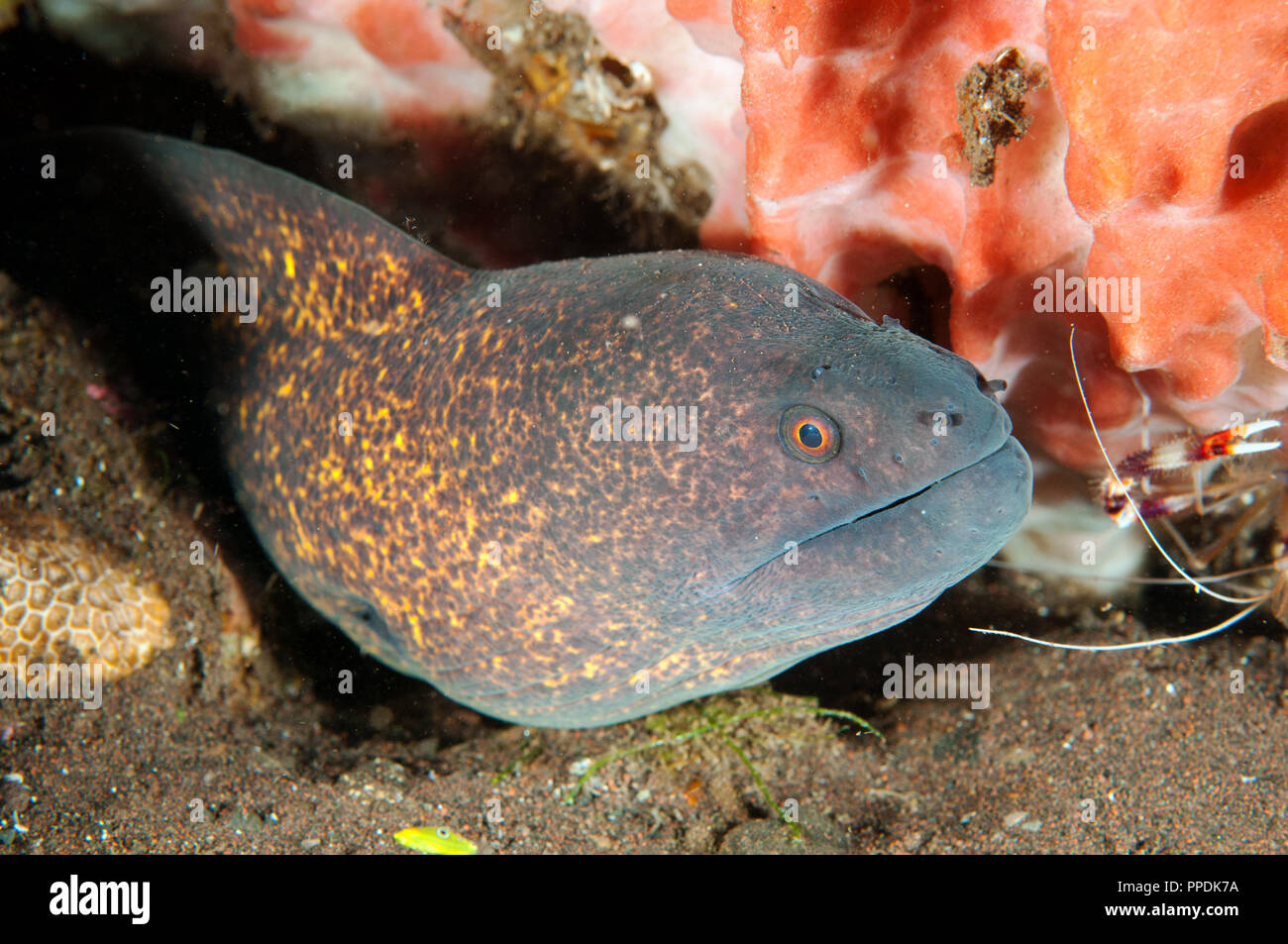 Yellowmargin moray, Gymnothorax flavimarginatus, Bali Indonesia. - Stock Image