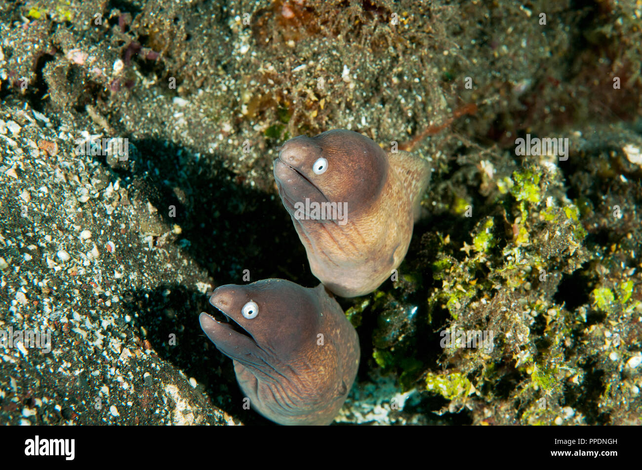 White eyed moray, Siderea thysoidea, Bali Indonesia. - Stock Image