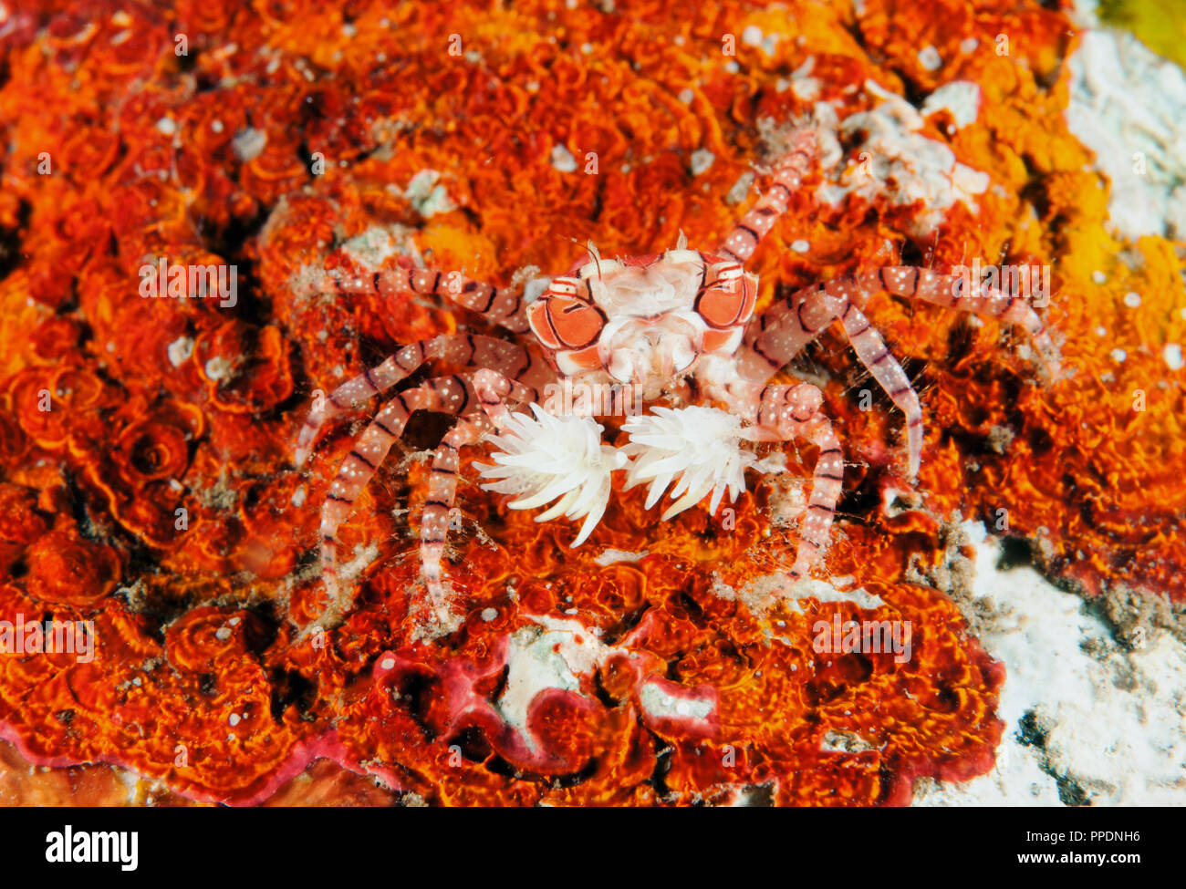 Boxer crab, Lybia tesselata, with defensive anemones attached her arms. Bali Indonesia. - Stock Image