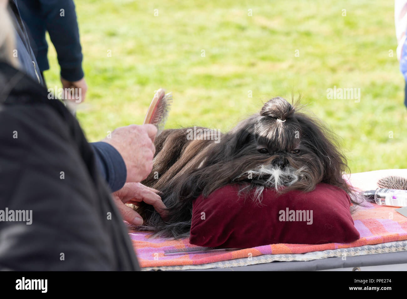 A dark brown Pekingese Dog for a competition at Nidderdale Show,Pateley Bridge,North Yorkshire,England,UK. - Stock Image