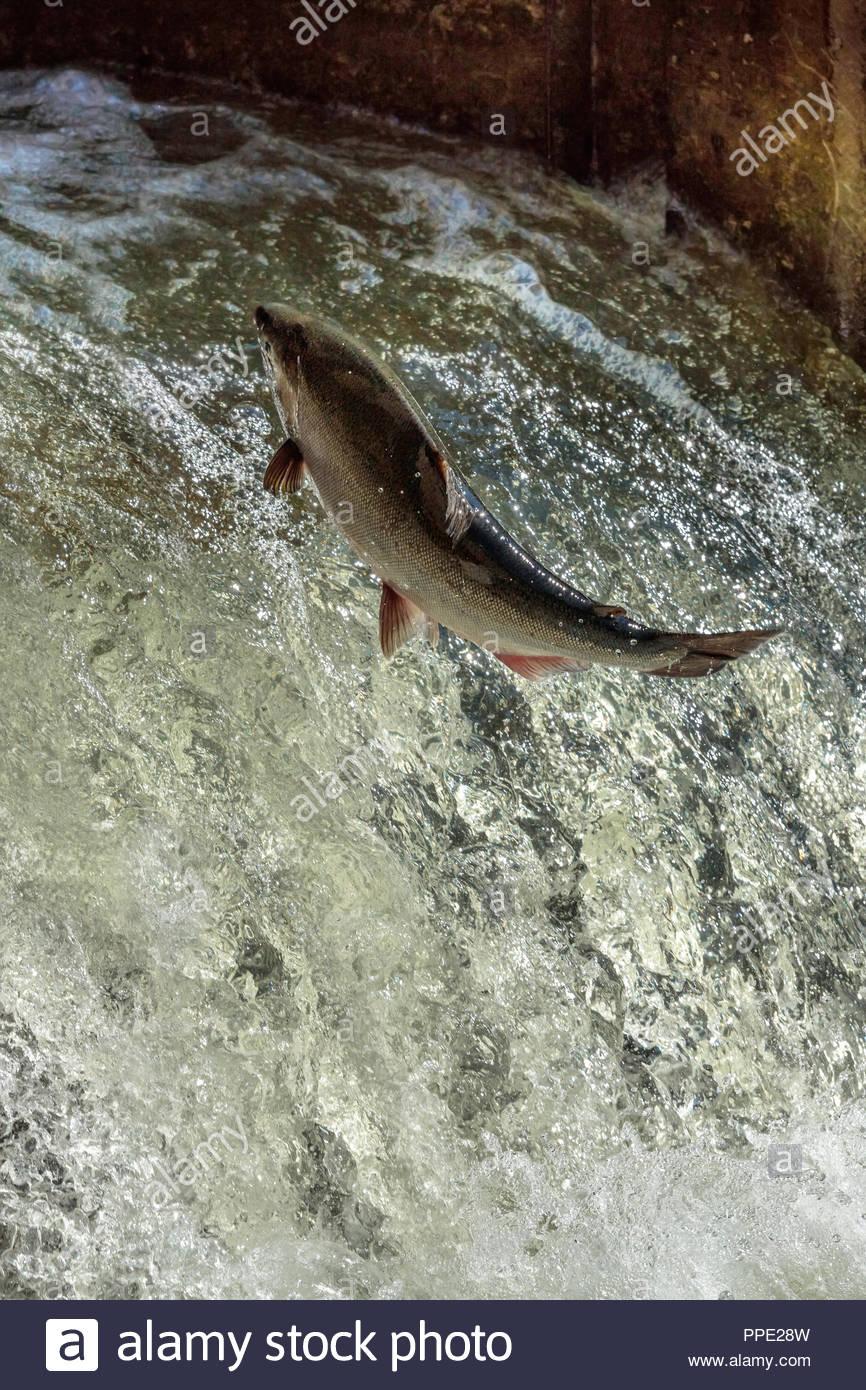 Fish ladder leaping Chinook salmon Oncorhynchus tshawytscha introduced population spawning on Ganaraska River Port Hope Ontario Canada. - Stock Image