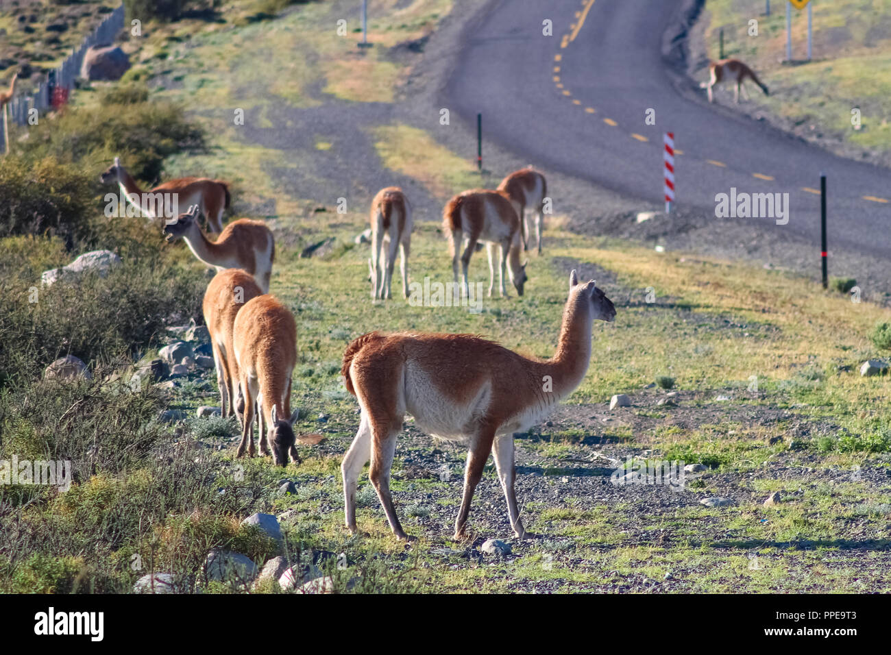 Guanaco in the Torres del Paine National Park. Autumn in Patagonia, the Chilean side Guanacos. - Stock Image