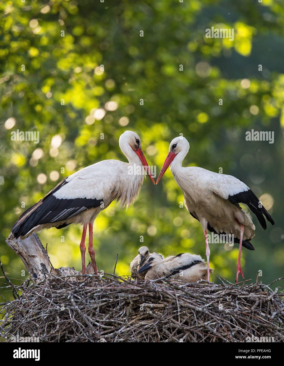 White Stork (Ciconia ciconia) breeding pair standing on nest with two chicks, Baden-Wuerttemberg, Germany | usage worldwide Stock Photo