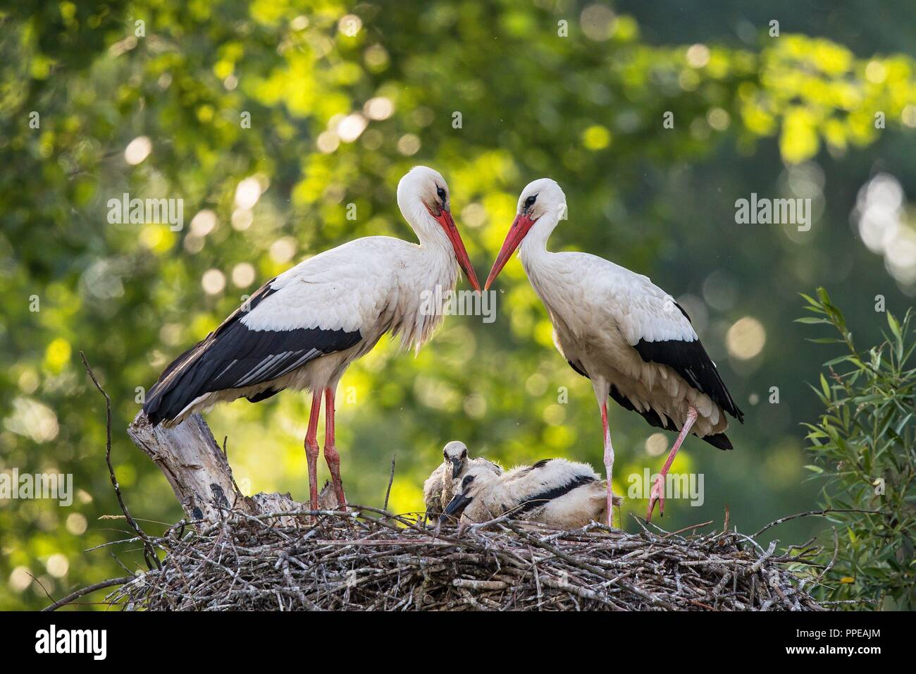 White Stork (Ciconia ciconia) breeding pair standing on nest with two chicks, Baden-Wuerttemberg, Germany   usage worldwide Stock Photo