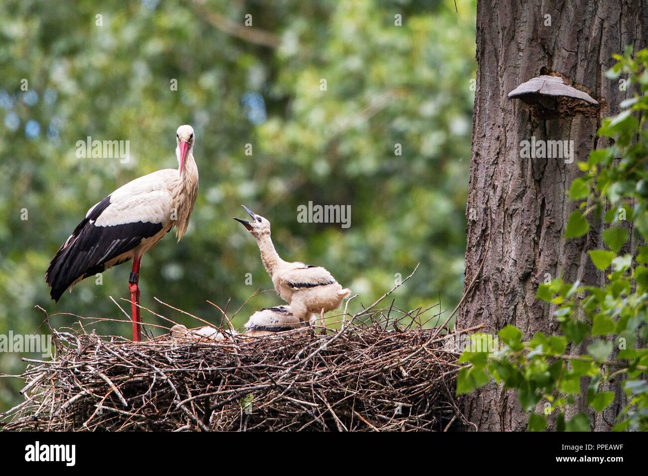 White Stork (Ciconia ciconia) juvenile on nest begging for food, Baden-Wuerttemberg, Germany | usage worldwide Stock Photo