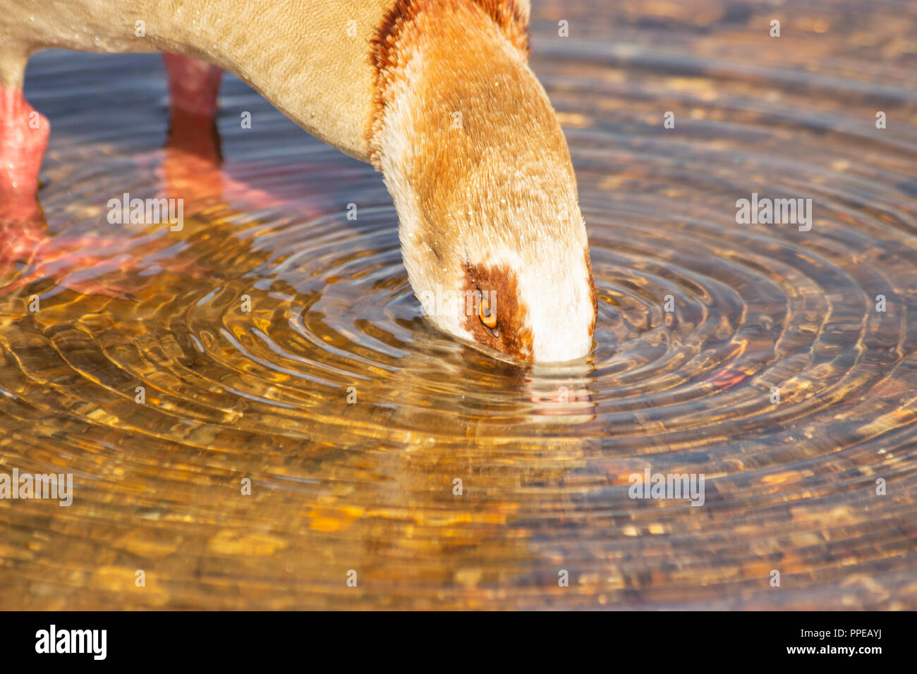 Egyptian goose up to its eyeballs in water - Stock Image