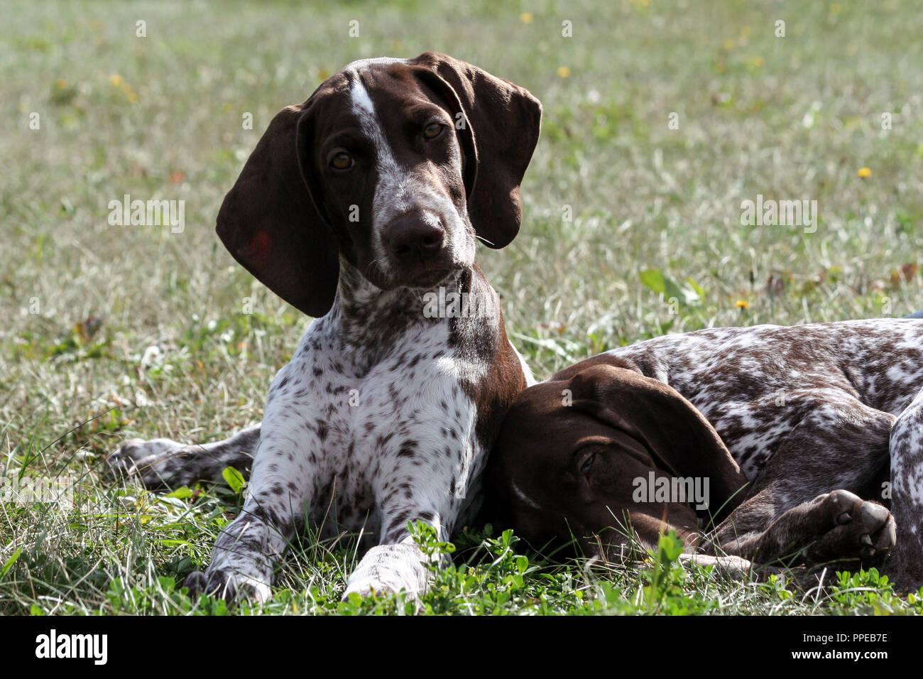 german shorthaired pointer, kurtshaar two brown spotted puppy, portrait of two animals, one asleep with his head on the grass, the second turned his - Stock Image