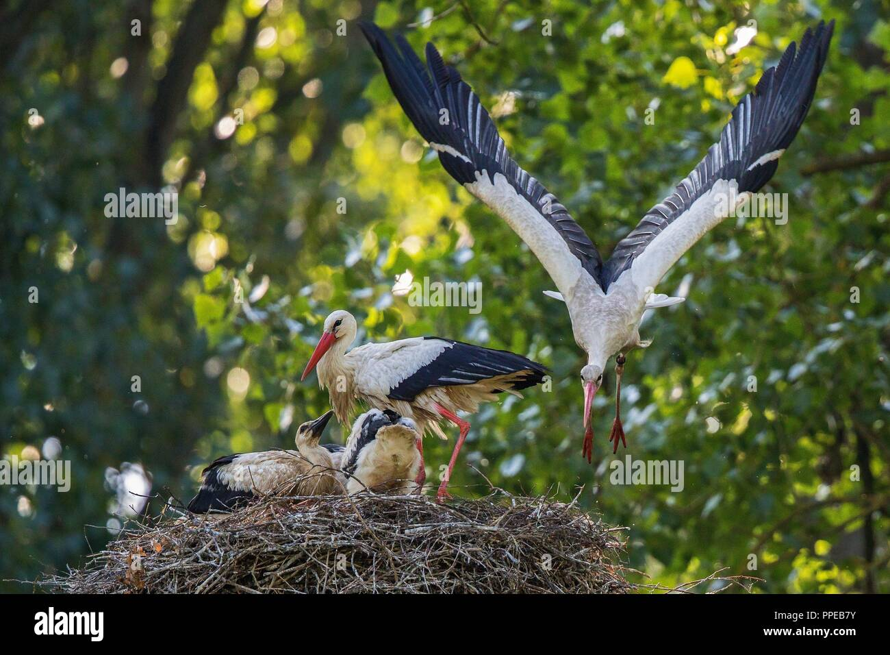 White Stork (Ciconia ciconia) adult flying of the nest with juveniles, Baden-Wuerttemberg, Germany | usage worldwide Stock Photo