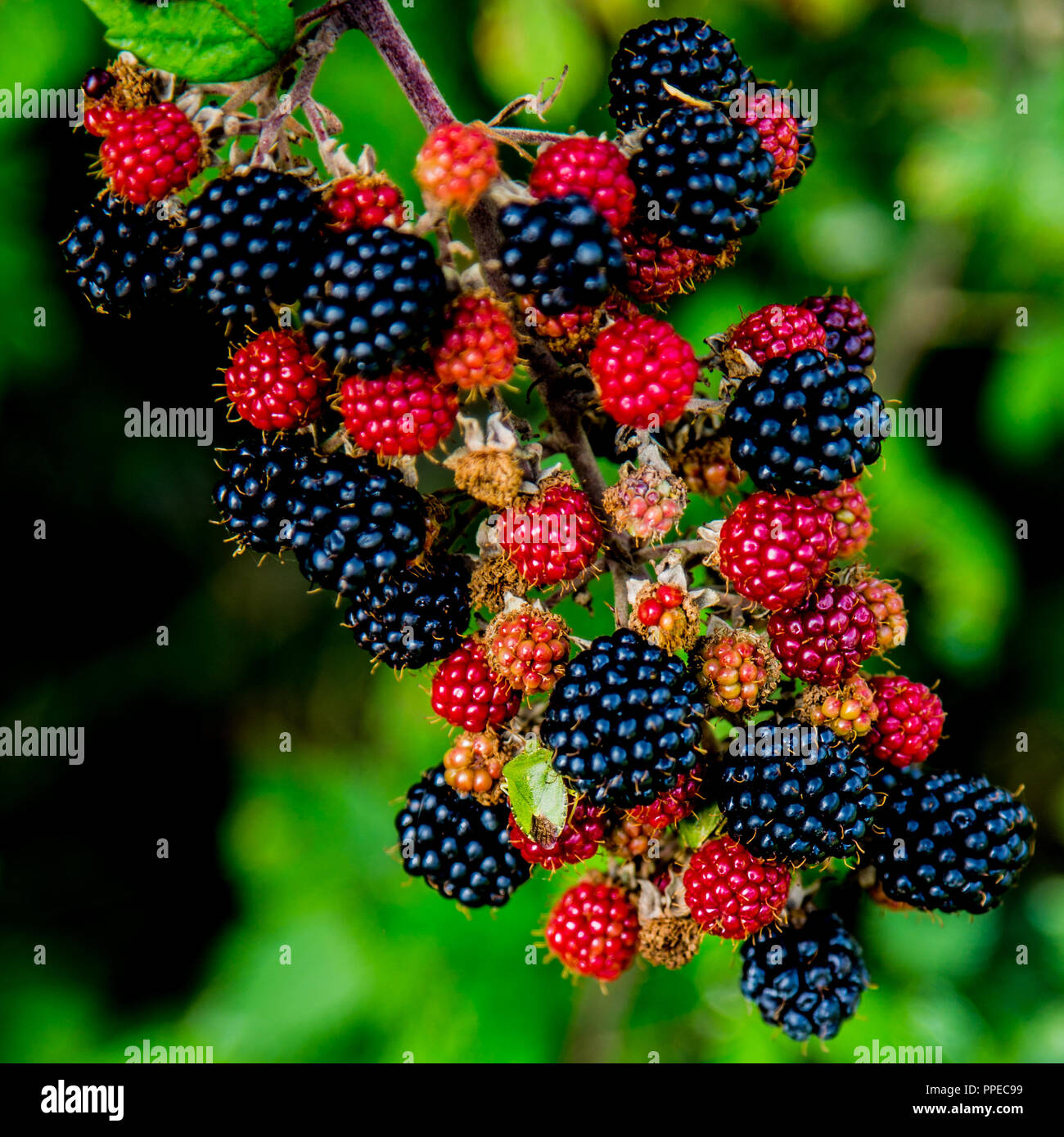 Blackberries Ripening And A Green Shield Bug