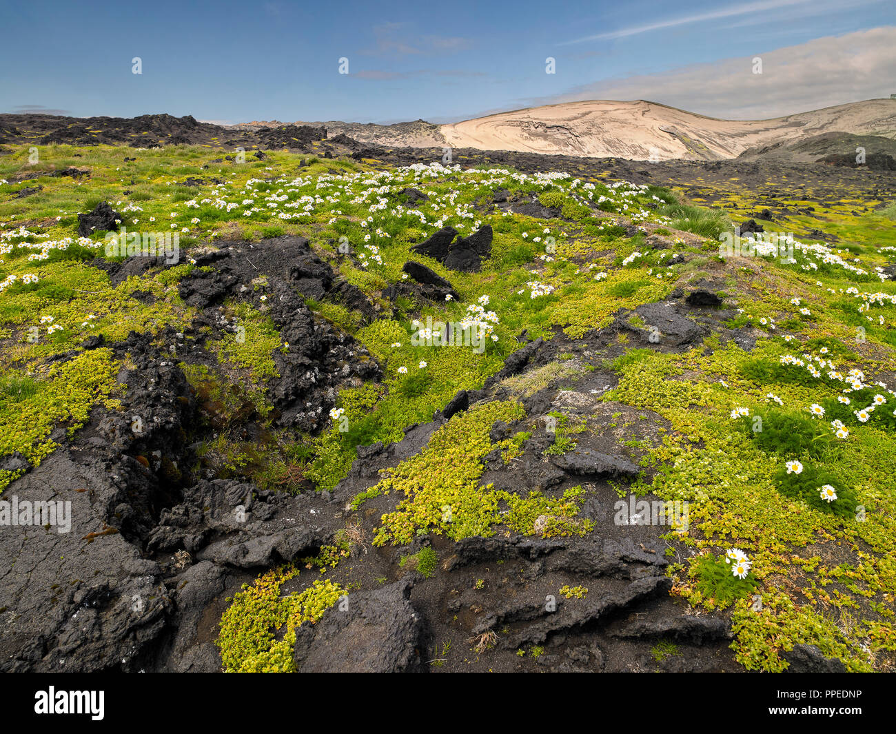 Regrowth of flowers and plants, Surtsey Island, Westman Islands, Iceland - Stock Image