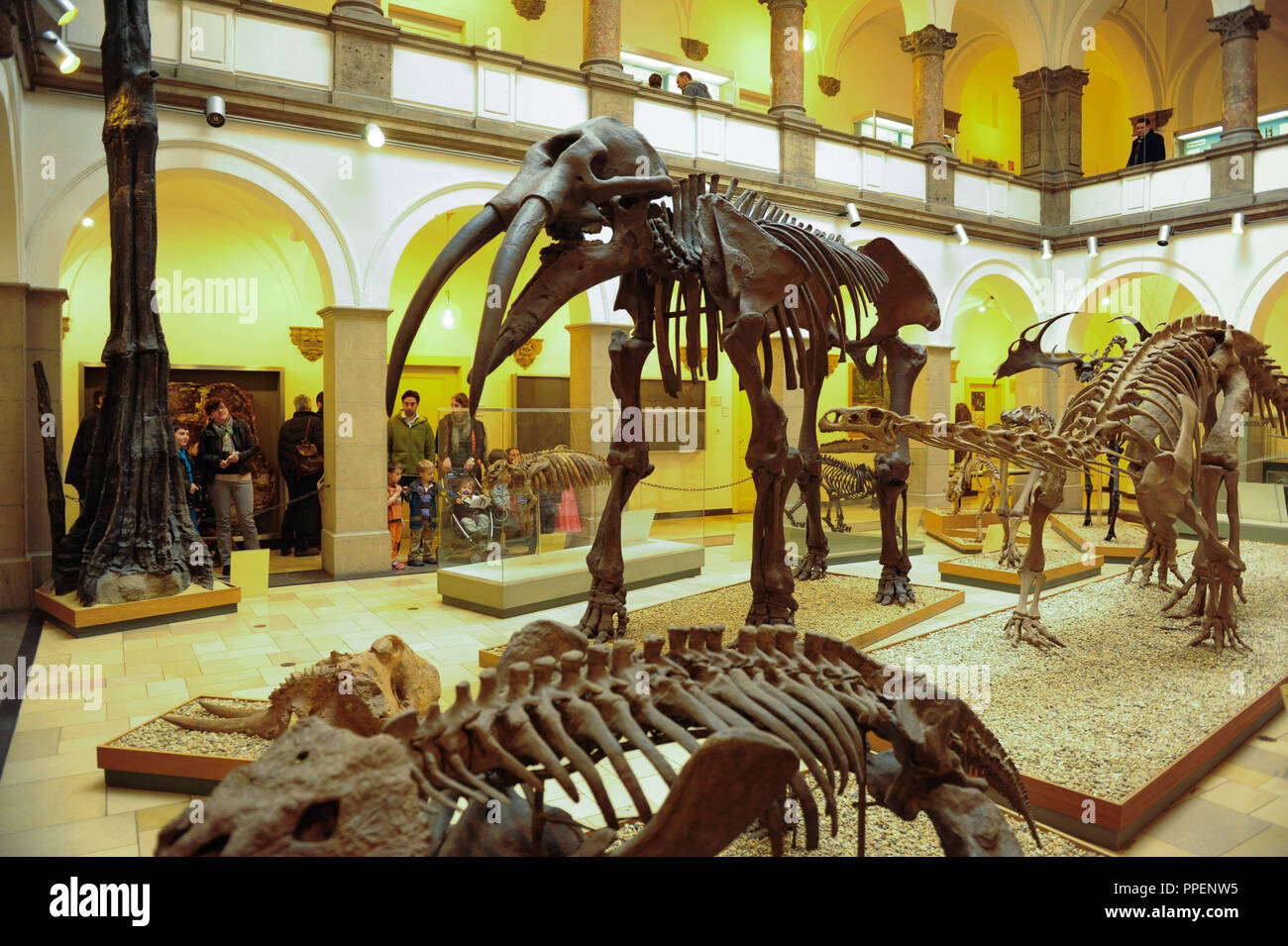 Skeletons of an ancient elephant and a dinosaur, pictured on the open day of the two neighboring museums, the Museum of Paleontology and the Museum of Geology at the Richard-Wagner-Strasse 10. - Stock Image