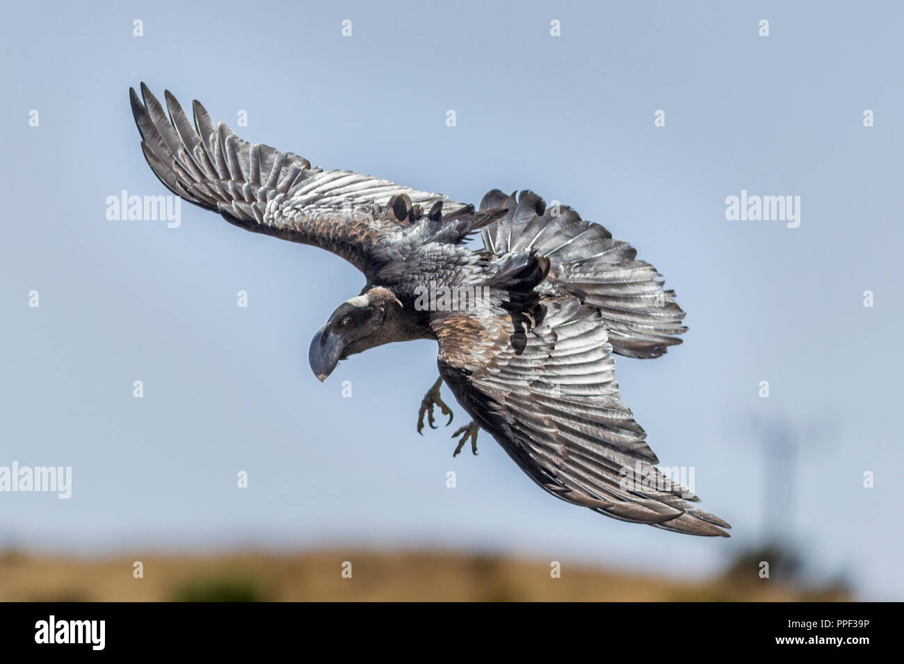 Thick-billed raven, Corvus crassirostris, a corvid  Simiens National Park, Ethiopia - Stock Image