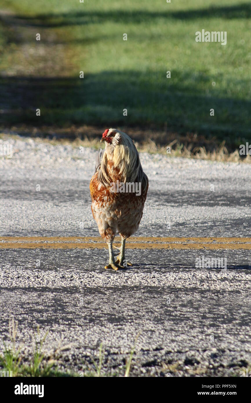 why did the chicken cross the road stock photos why did the