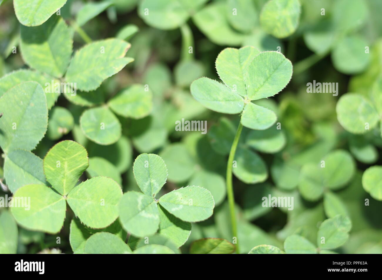 4 Leaf Clover Among 3 Leaf Clovers Stock Photo 220380926 Alamy