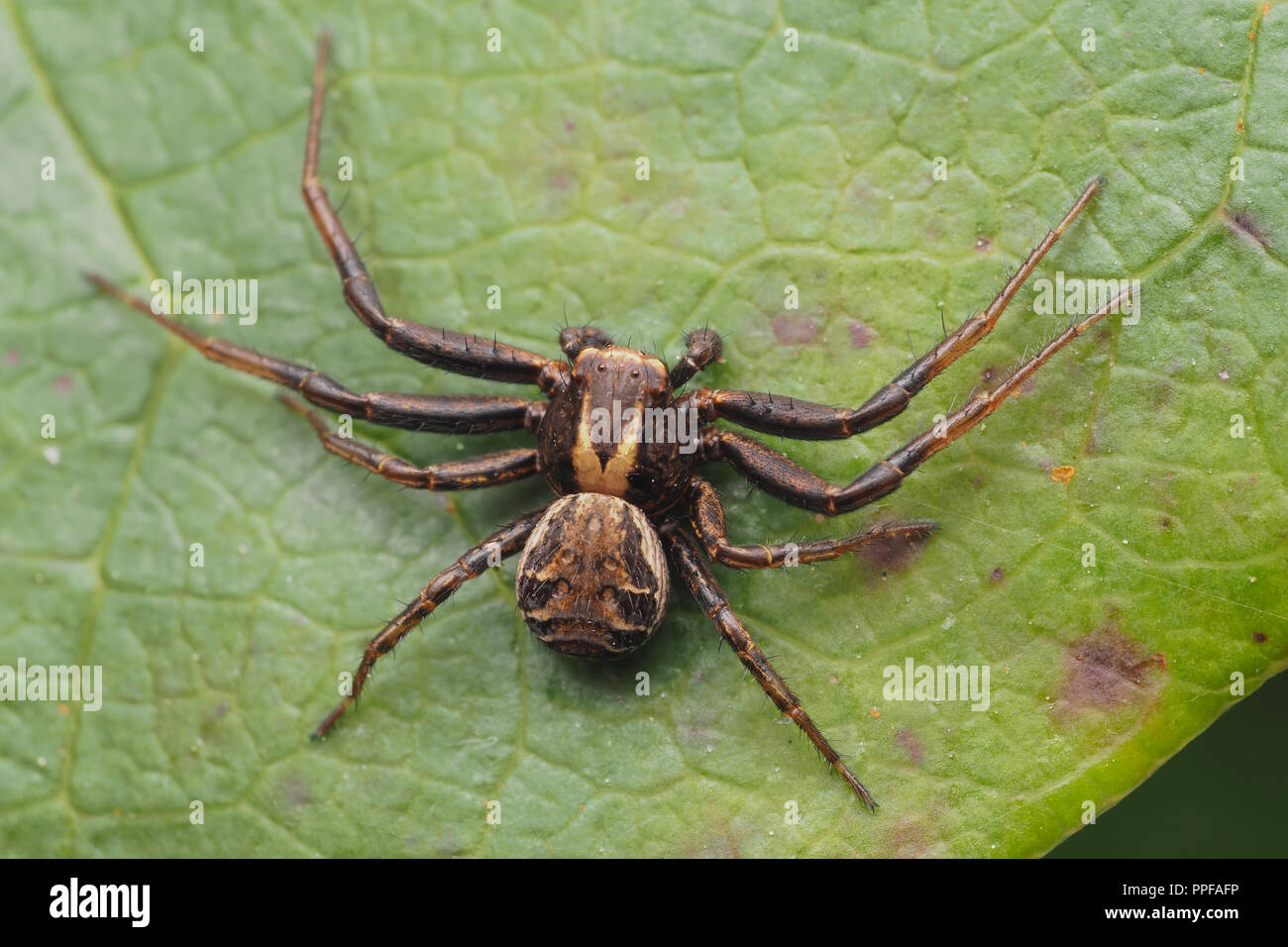 Dorsal view of Crab Spider (Xysticus sp) at rest on rhododendron leaf. Tipperary, Ireland - Stock Image