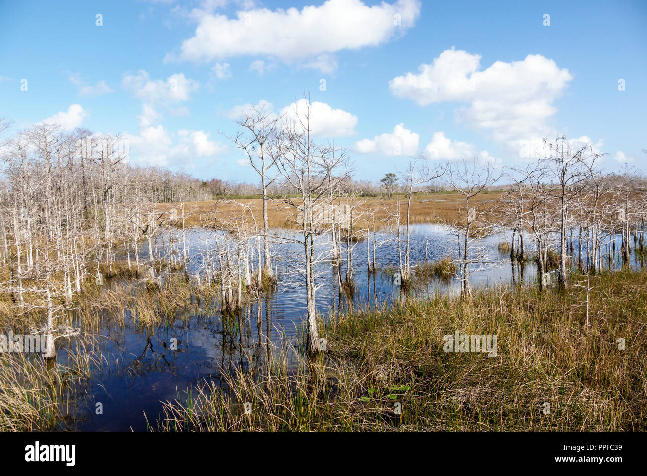 West Palm Beach Florida Grassy Waters Nature Preserve wetlands ecosystem water bald cypress trees - Stock Image