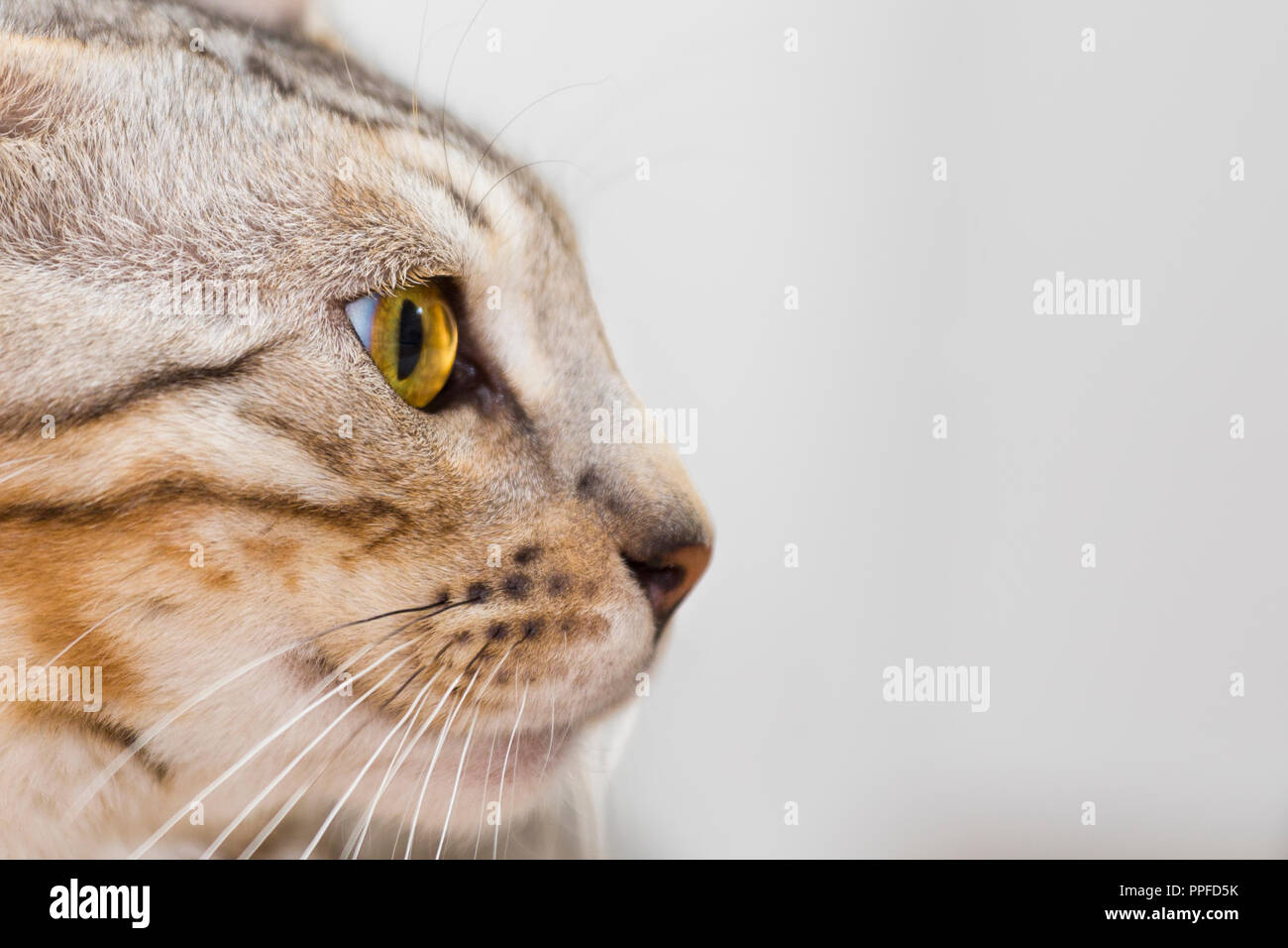 Side view portrait of beautiful male Bengal cat kitten with amazing amber eyes - Stock Image