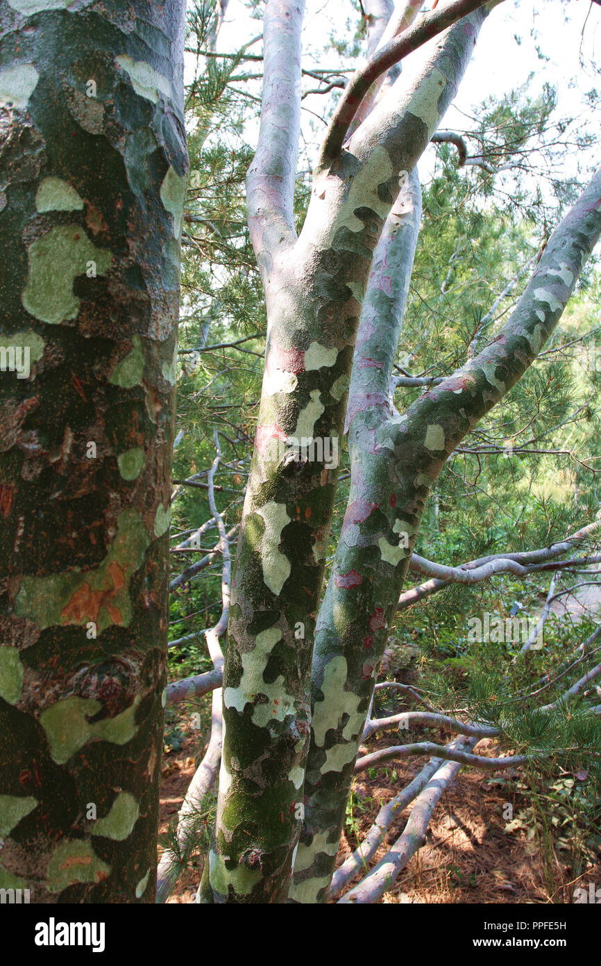 Close Up Of The Multi Colored Bark Of The Lacebark Pine Tree